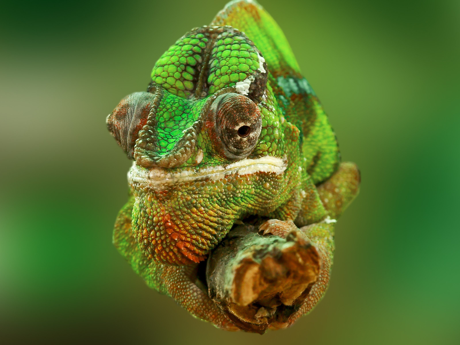 Portrait of a chameleon wallpaper 1600x1200