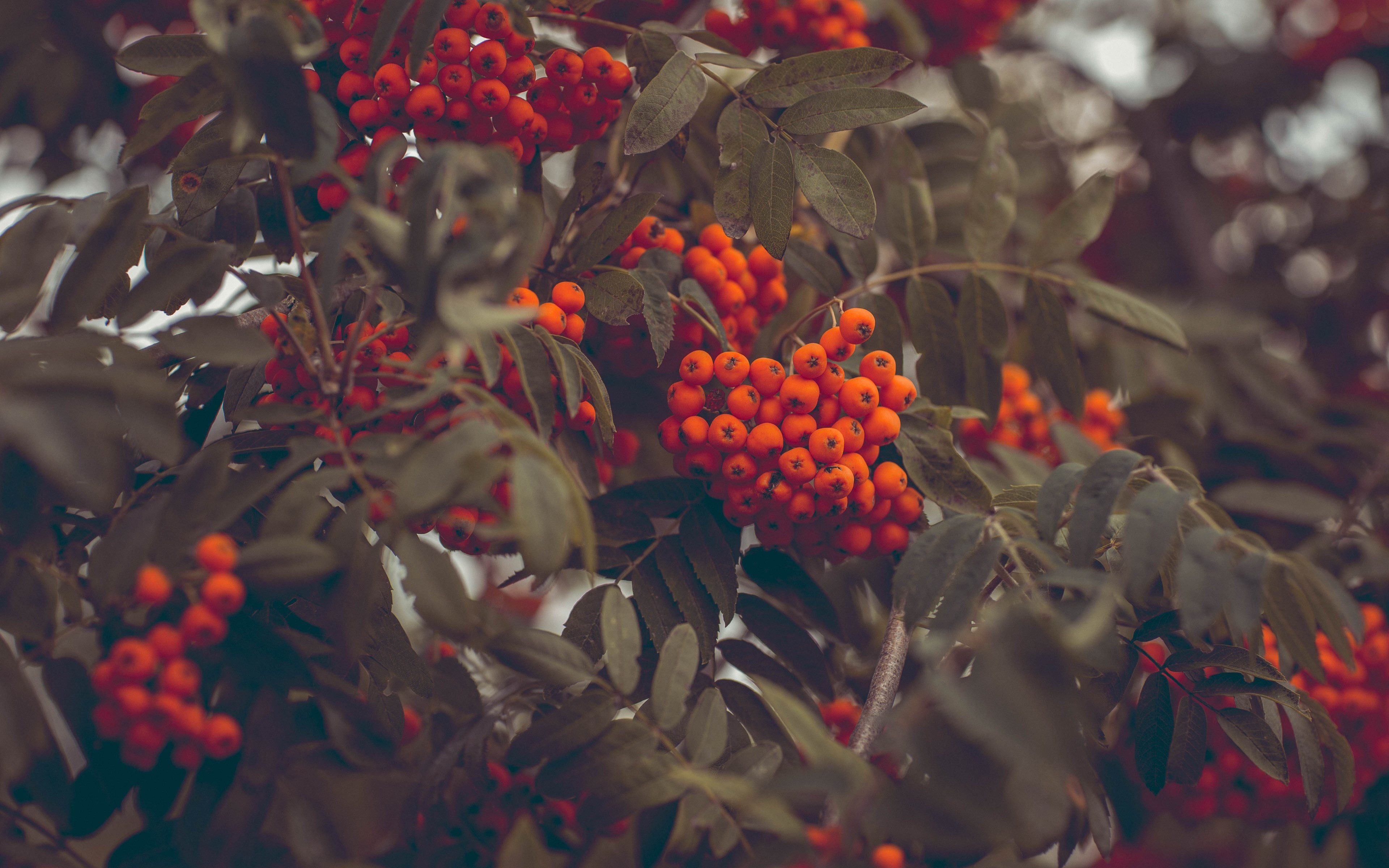 Rowan fruits wallpaper 3840x2400