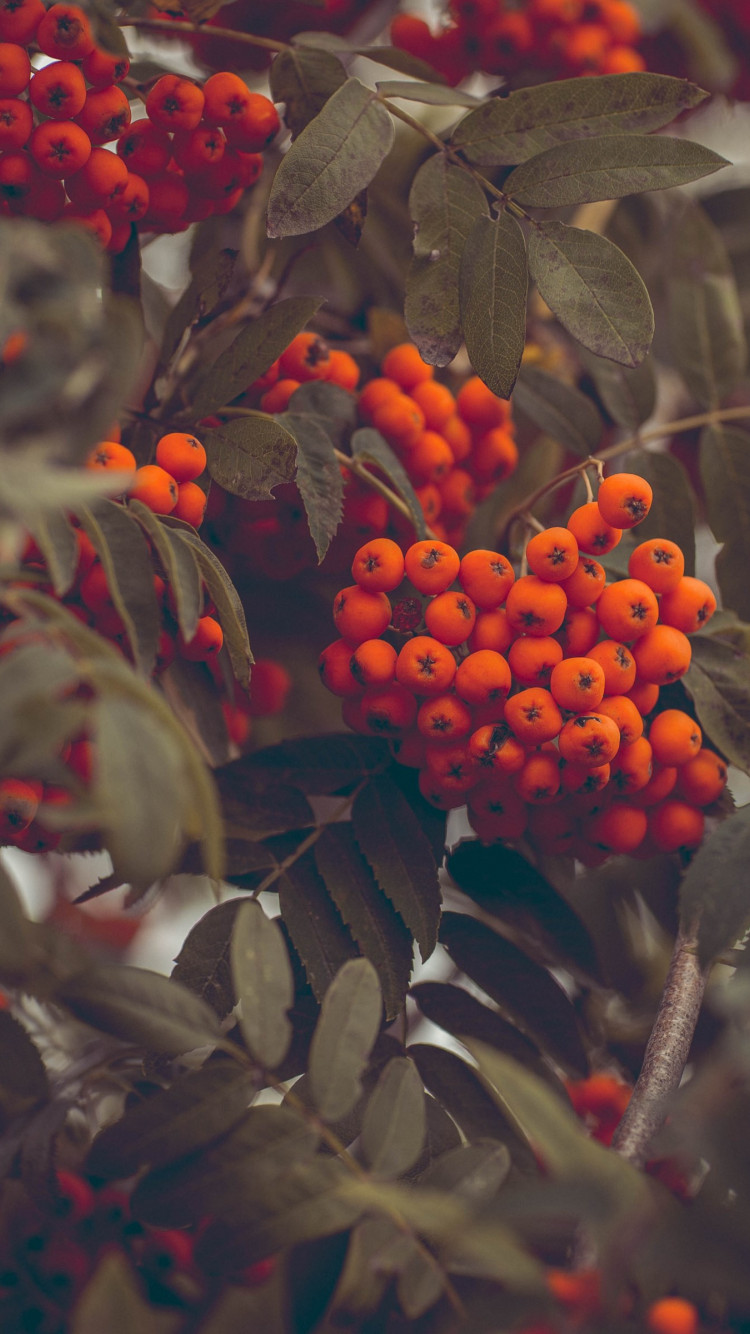 Rowan fruits wallpaper 750x1334