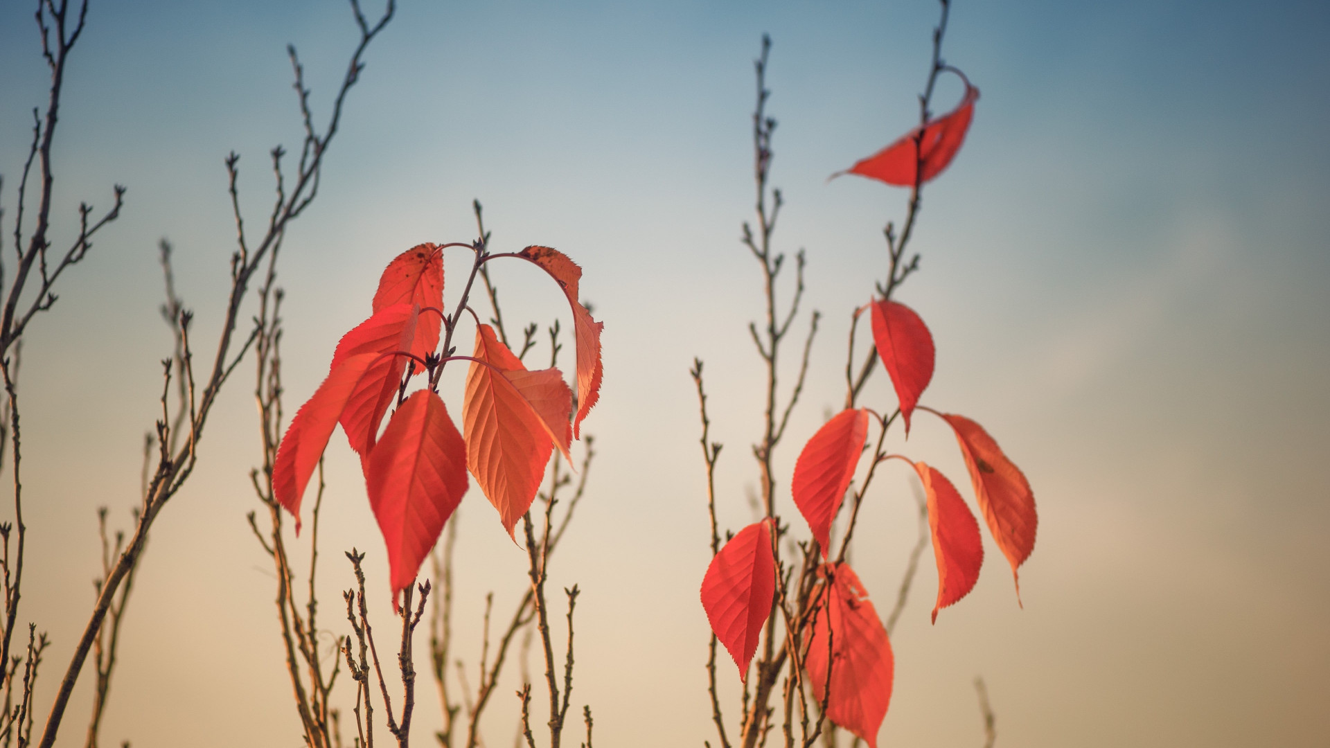 Autumn leaves on tree branches | 1920x1080 wallpaper