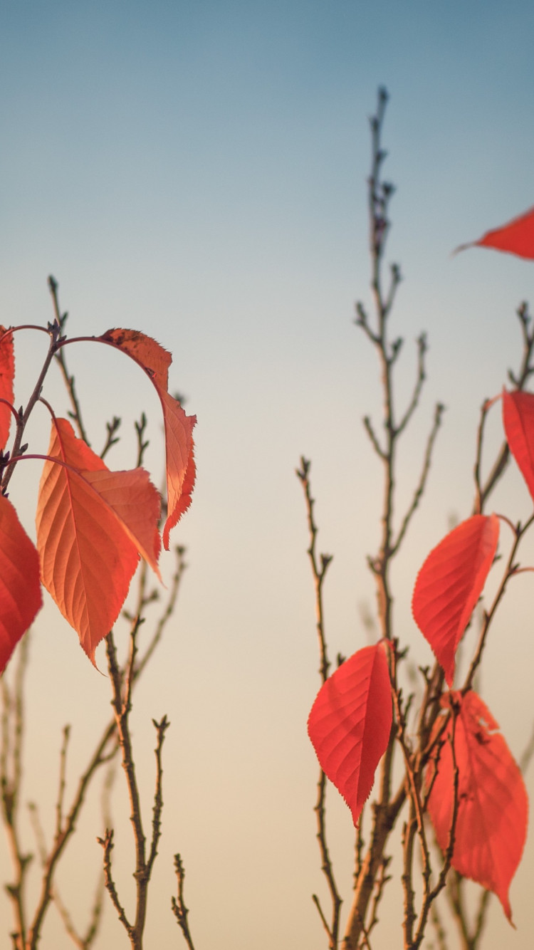 Autumn leaves on tree branches wallpaper 750x1334