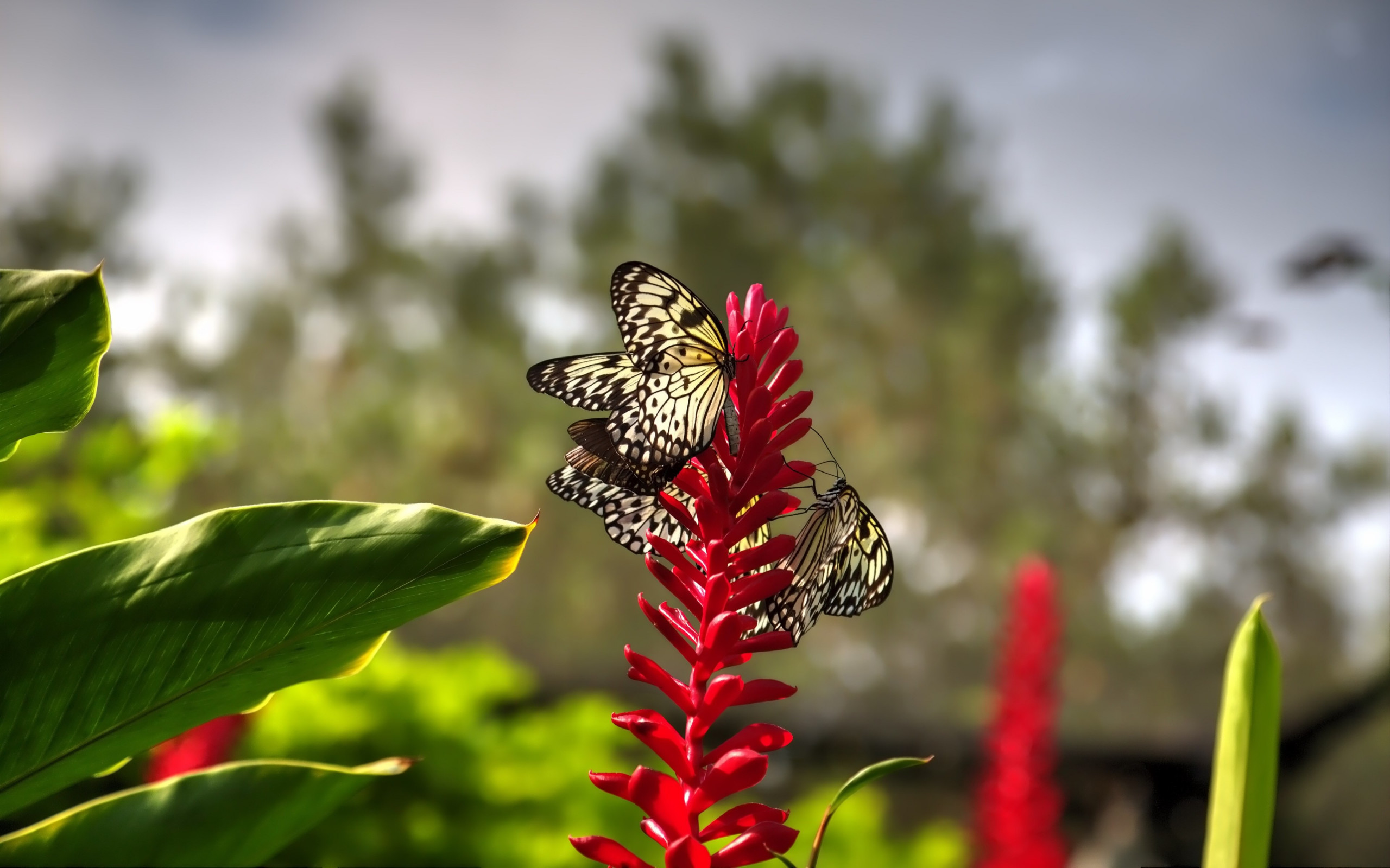 Butterflies on red flowers wallpaper 2560x1600