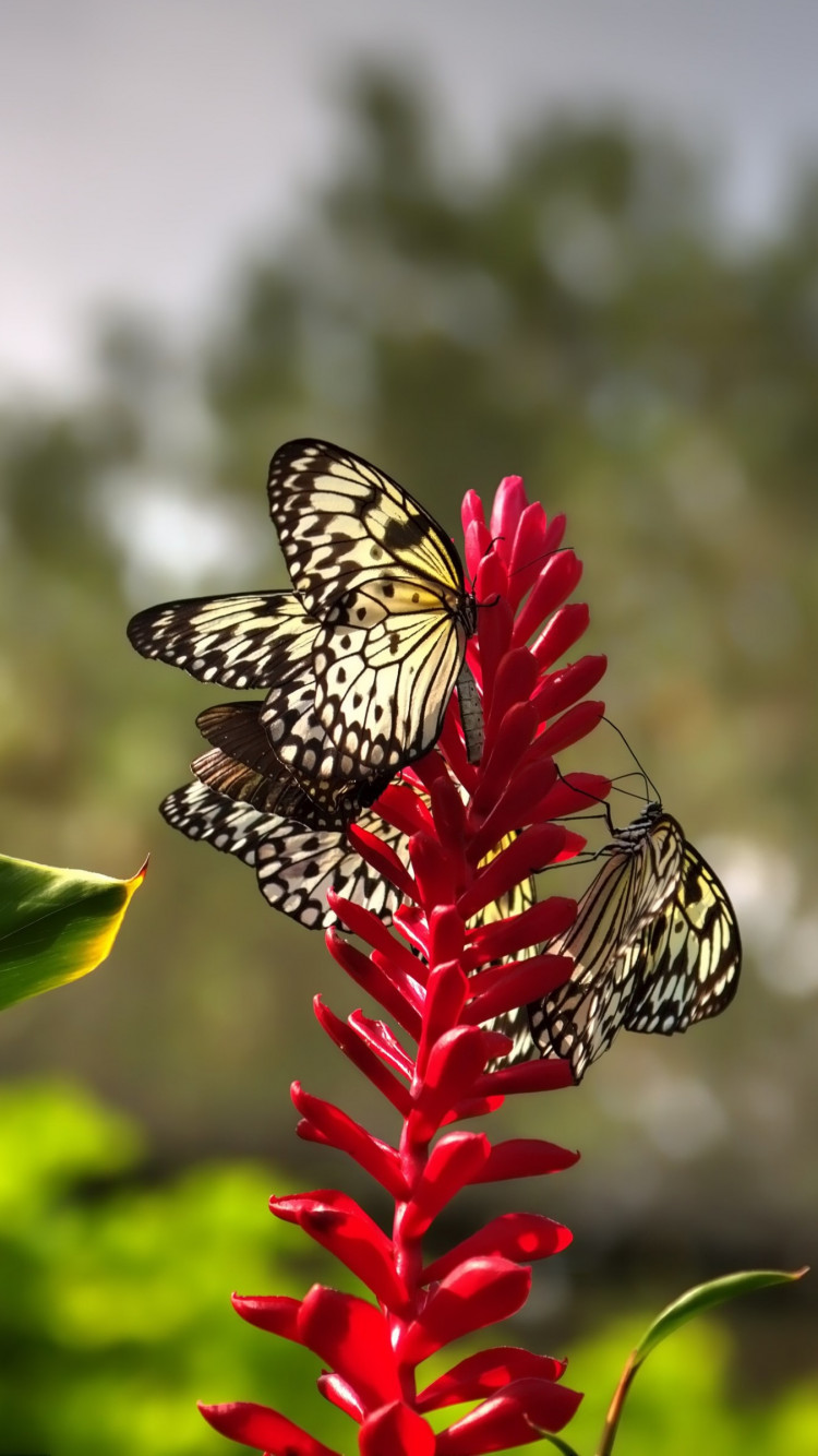 Butterflies on red flowers | 750x1334 wallpaper