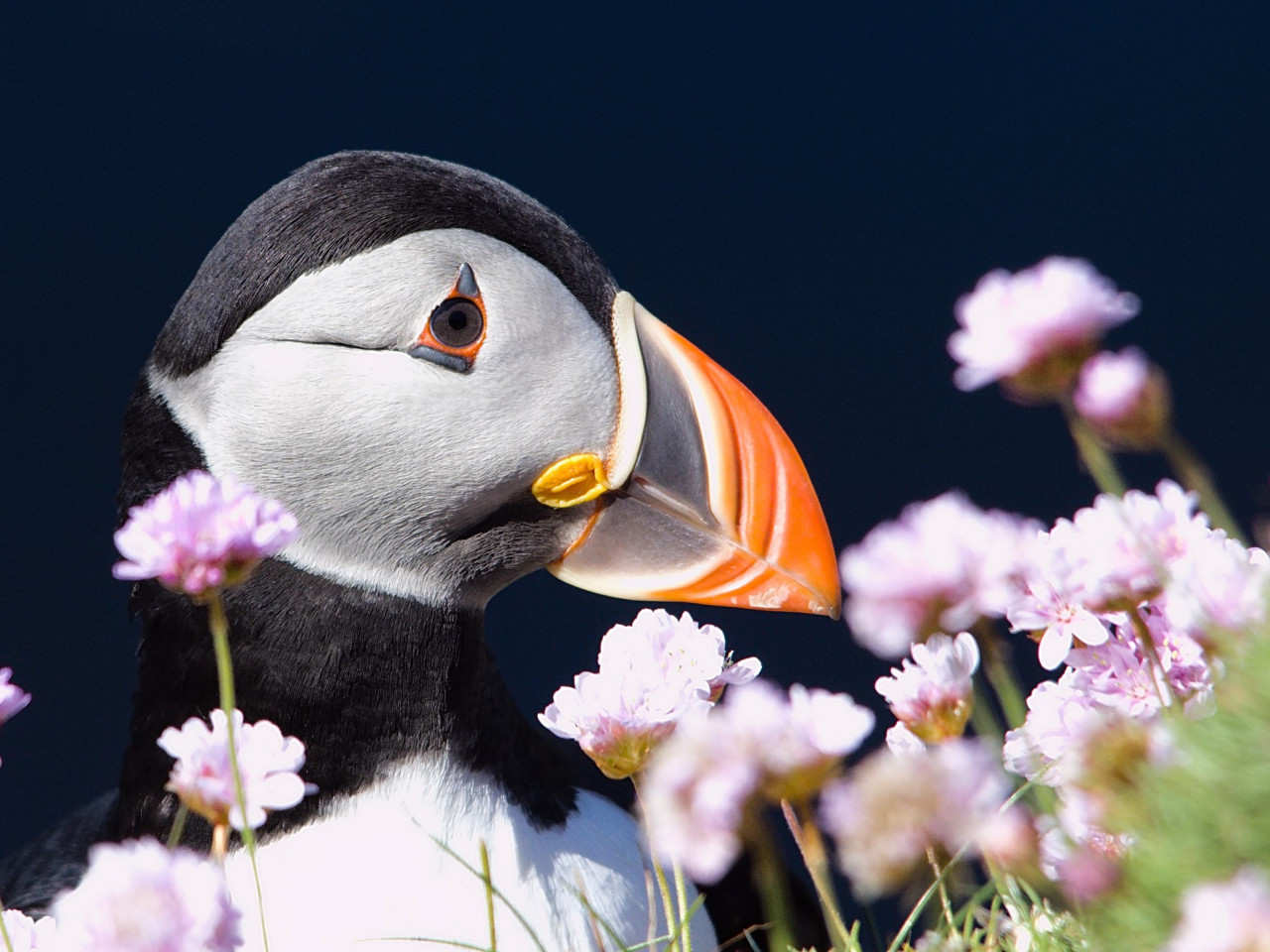 Puffin from Shetland archipelago | 1280x960 wallpaper