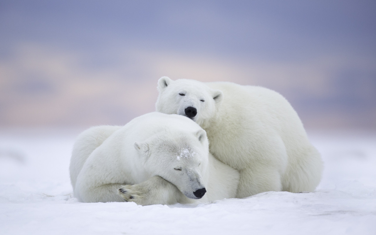 Wild polar bears in Alaska wallpaper 1280x800