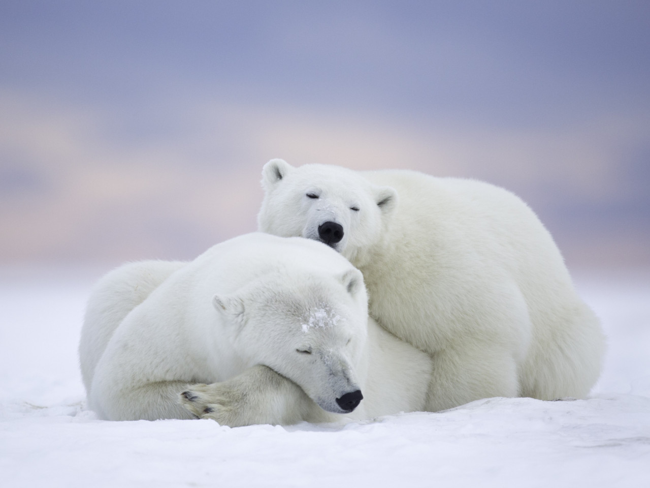 Wild polar bears in Alaska wallpaper 1280x960