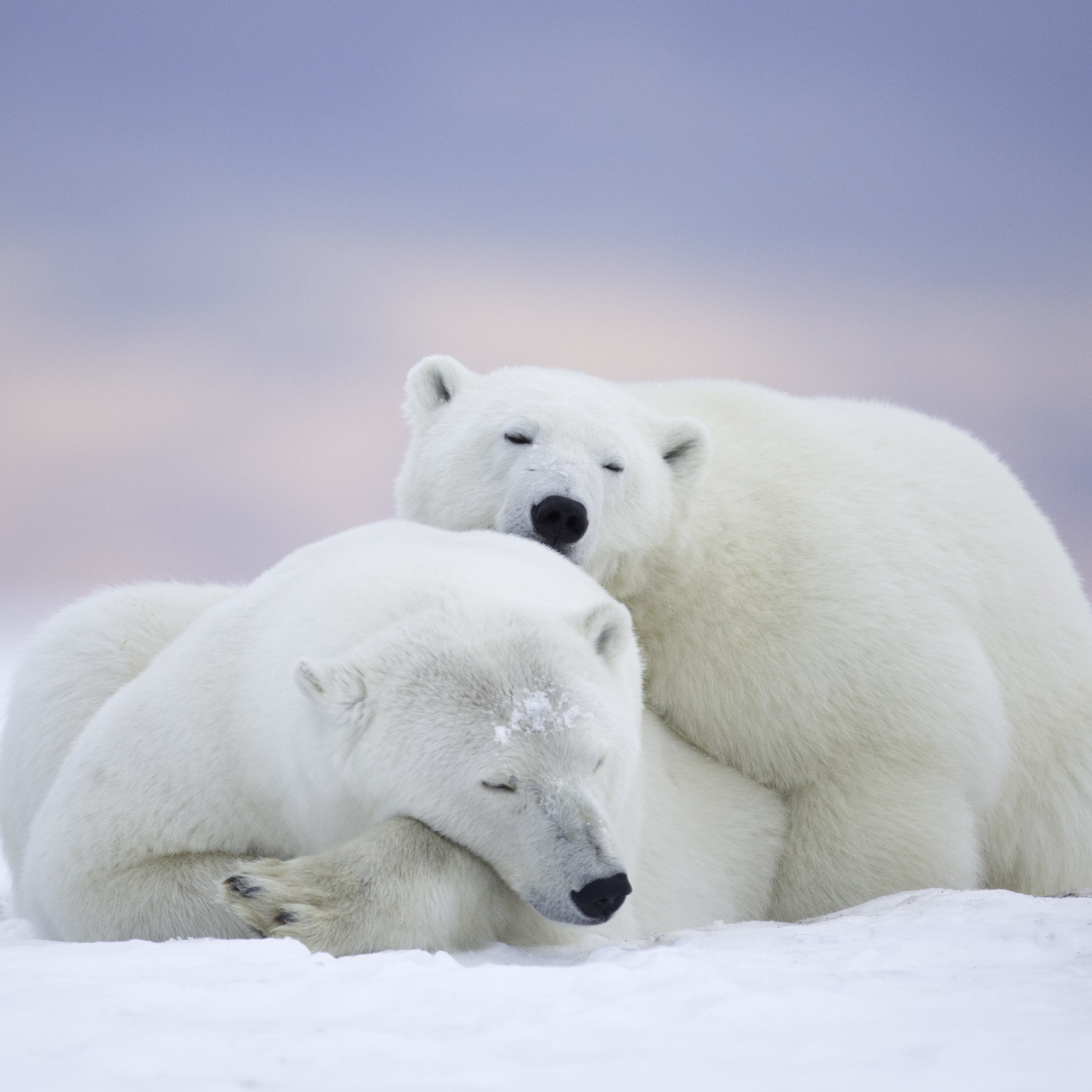 Wild polar bears in Alaska wallpaper 2048x2048