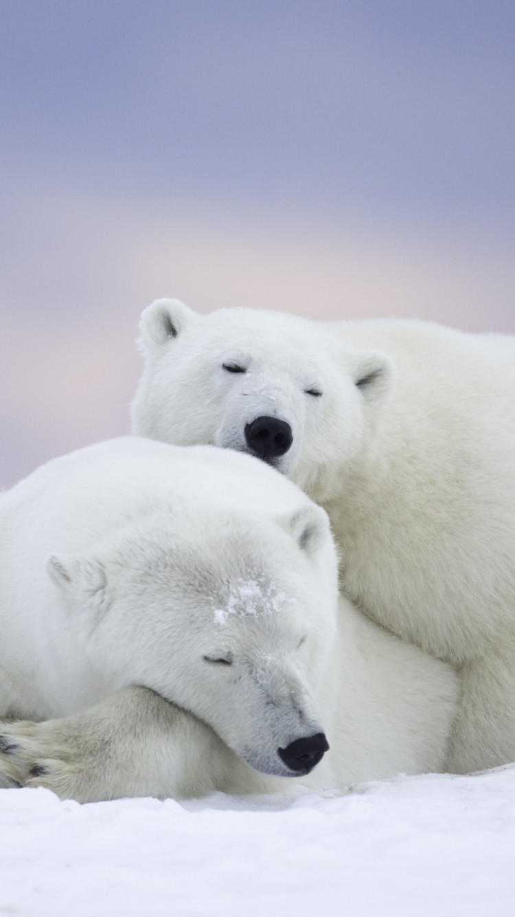 Wild polar bears in Alaska wallpaper 750x1334