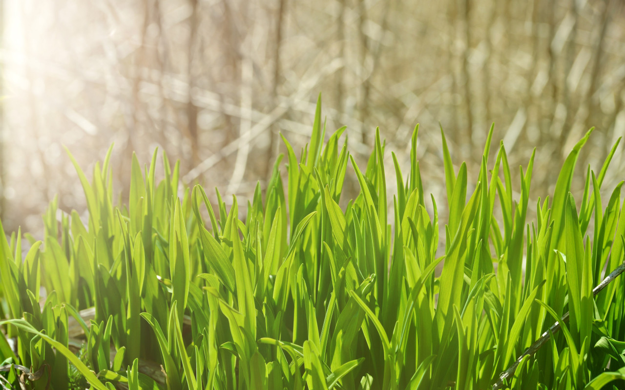 Pure green grass wallpaper 1280x800