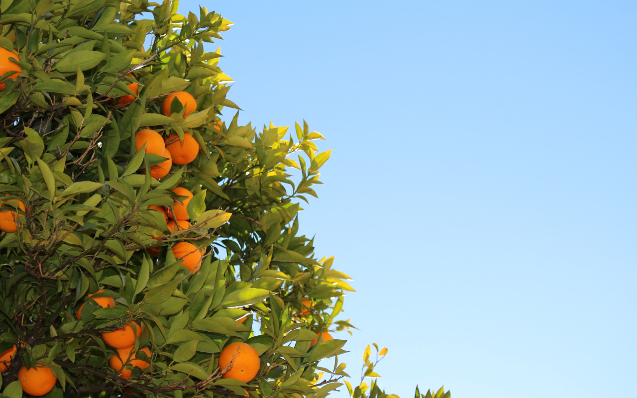 Oranges or clementines in tree wallpaper 1280x800
