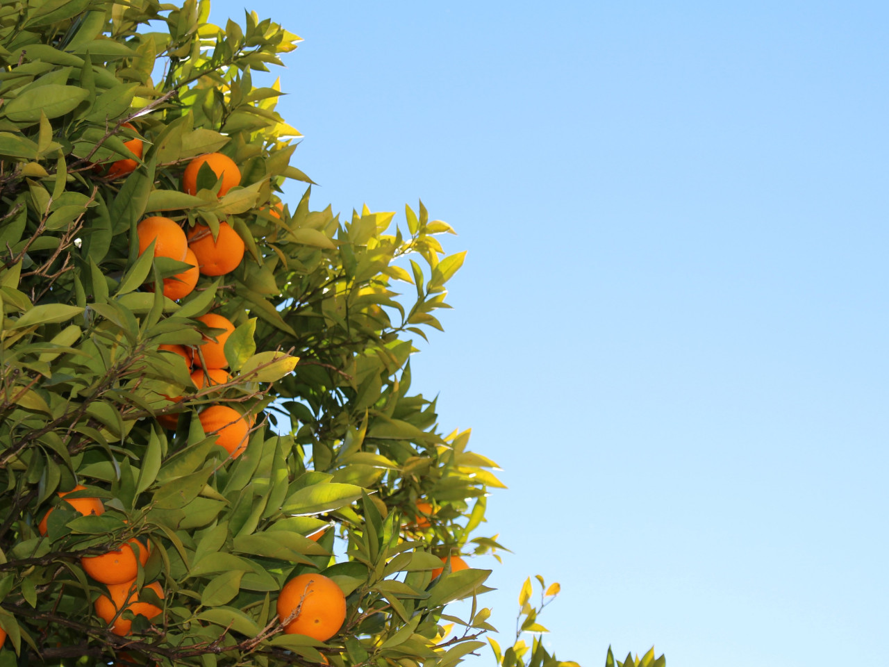 Oranges or clementines in tree wallpaper 1280x960