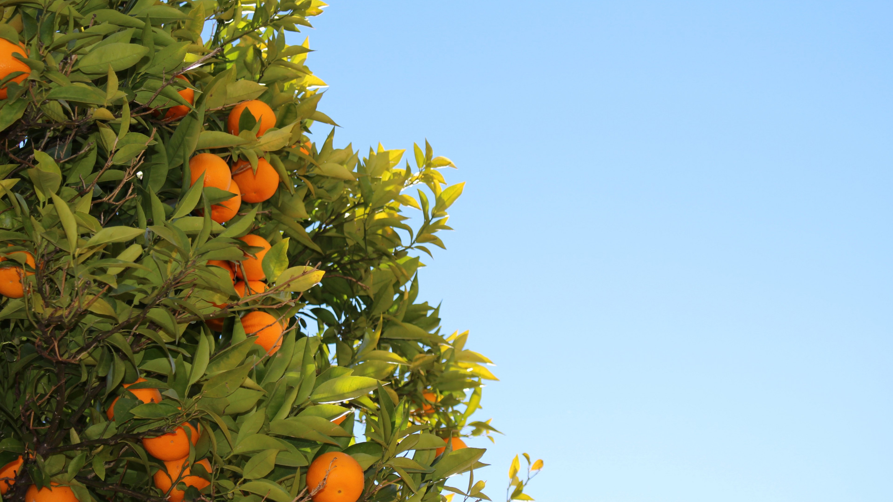 Oranges or clementines in tree wallpaper 2880x1620
