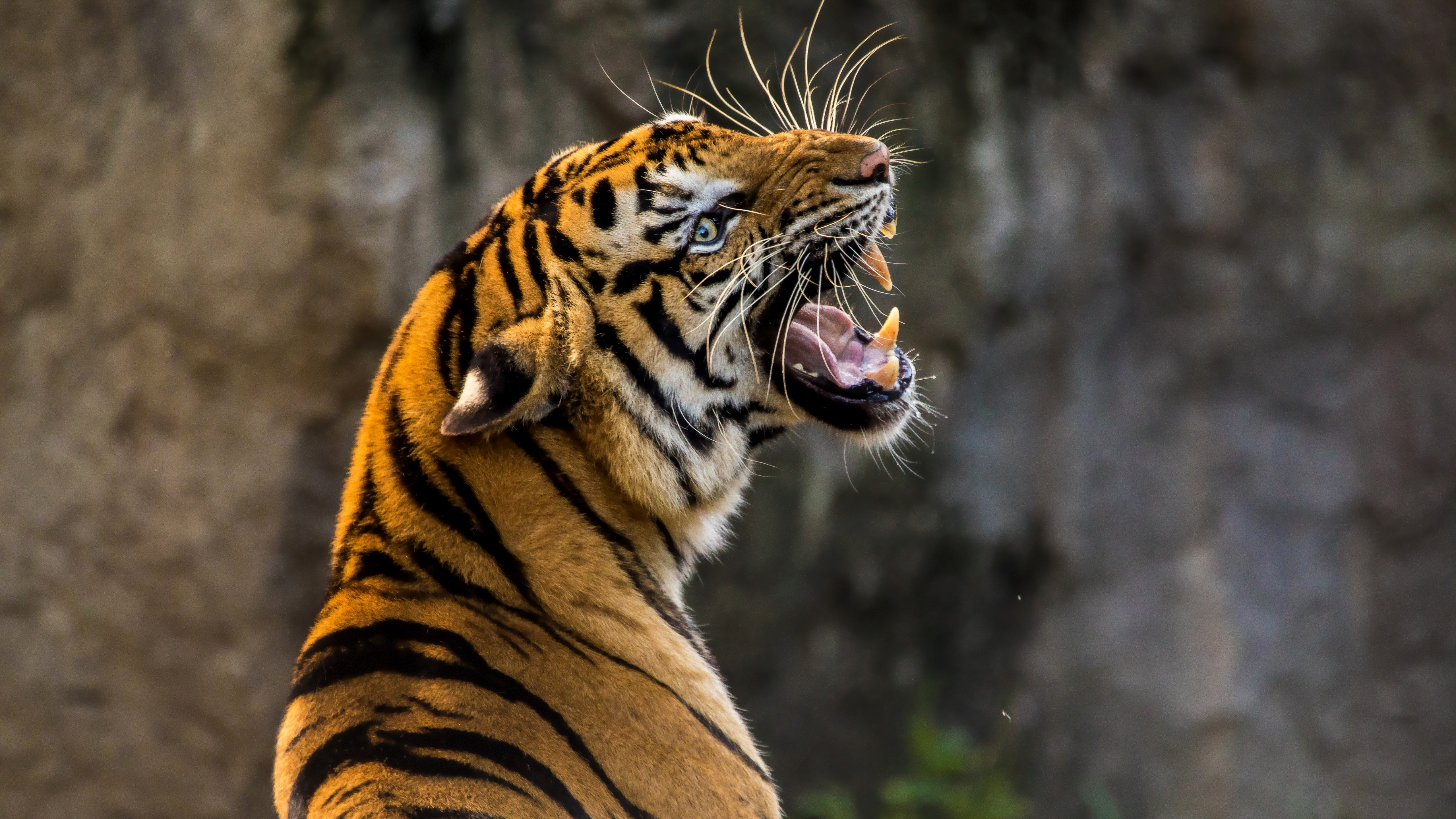 Angry tiger | 5120x2880 wallpaper