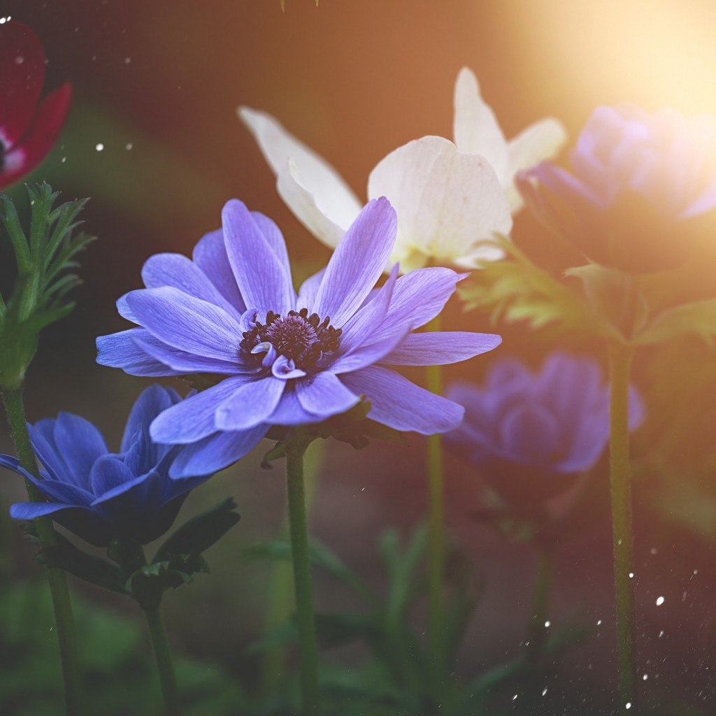 Anemone flowers | 1024x1024 wallpaper