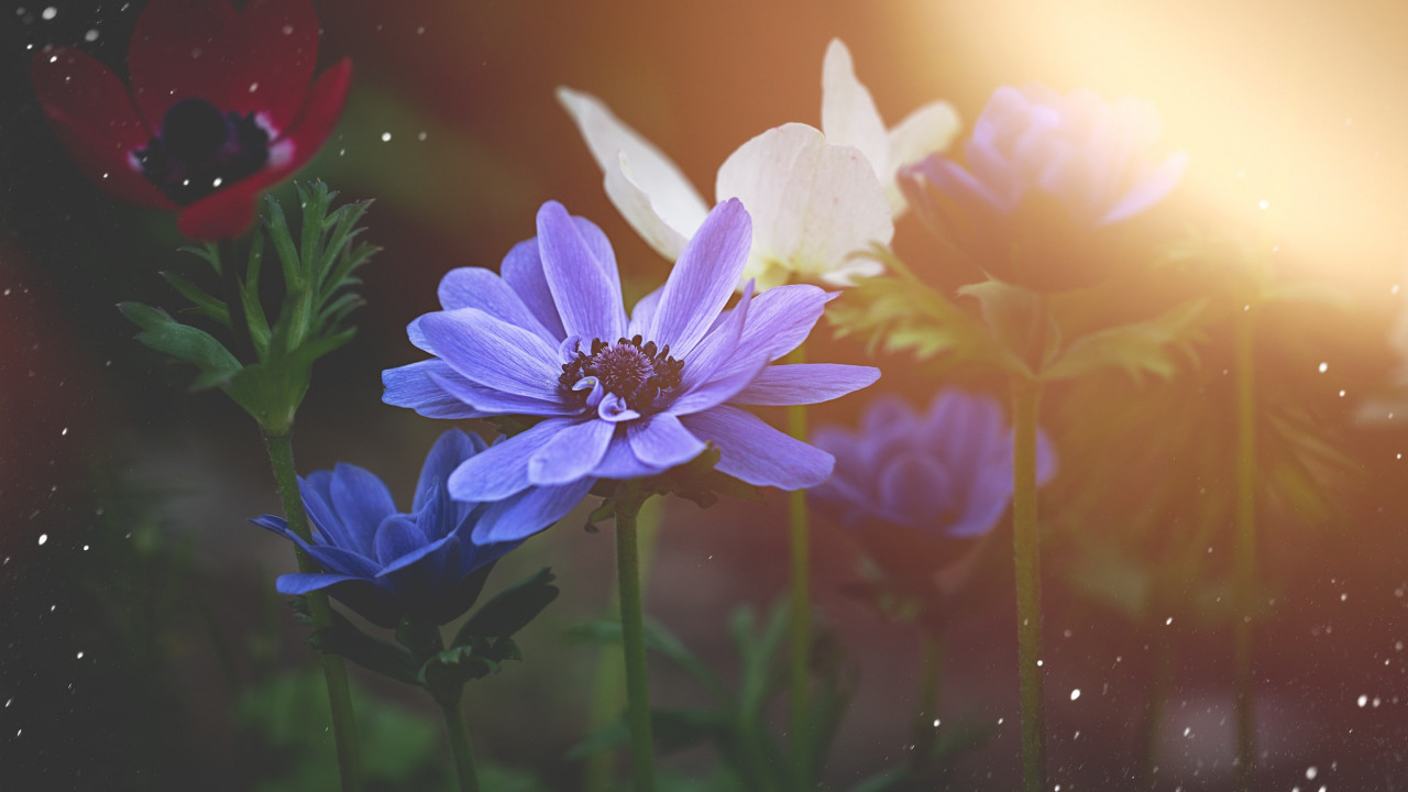 Anemone flowers wallpaper 1280x720