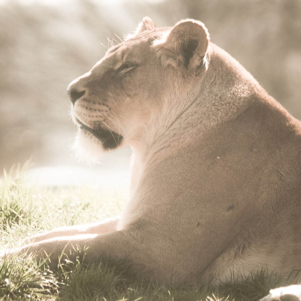 Lioness at Whipsnade Zoo wallpaper 1024x1024