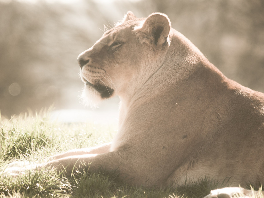 Lioness at Whipsnade Zoo wallpaper 1024x768