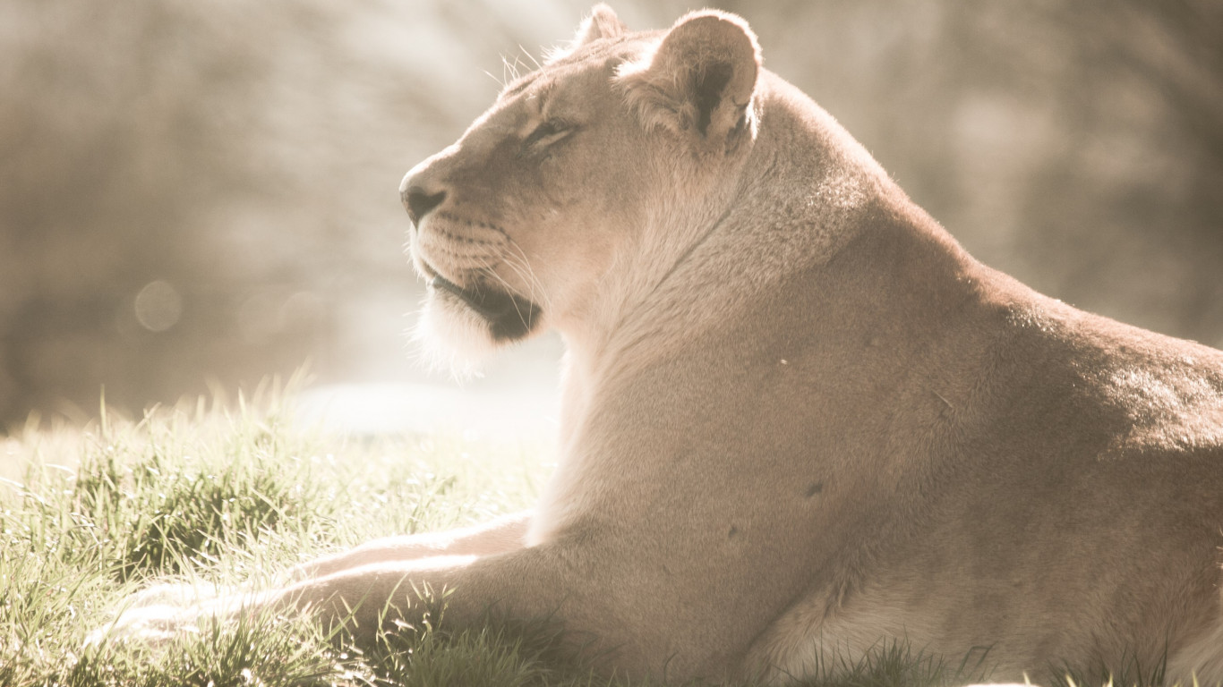 Lioness at Whipsnade Zoo wallpaper 1366x768