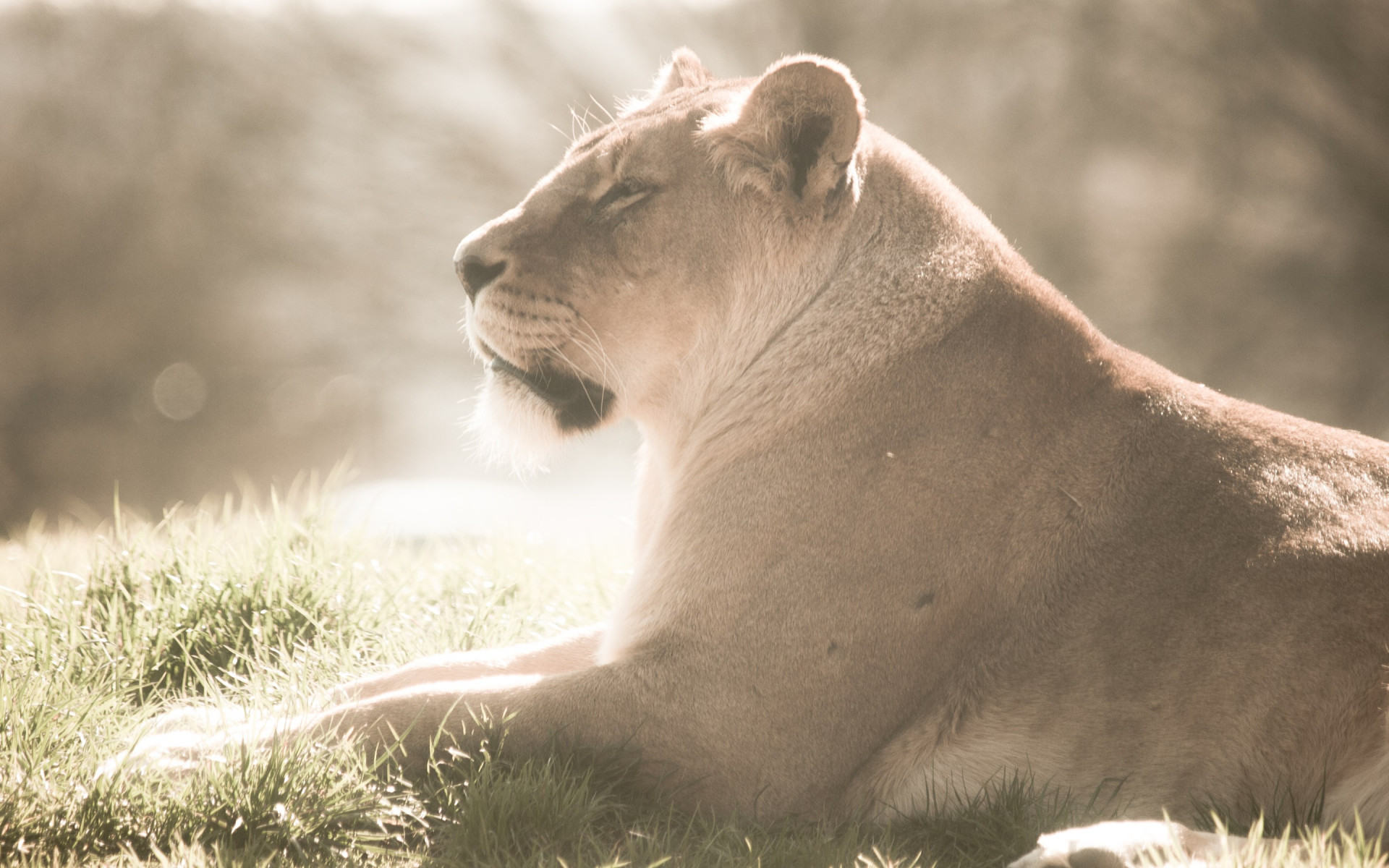 Lioness at Whipsnade Zoo wallpaper 1920x1200
