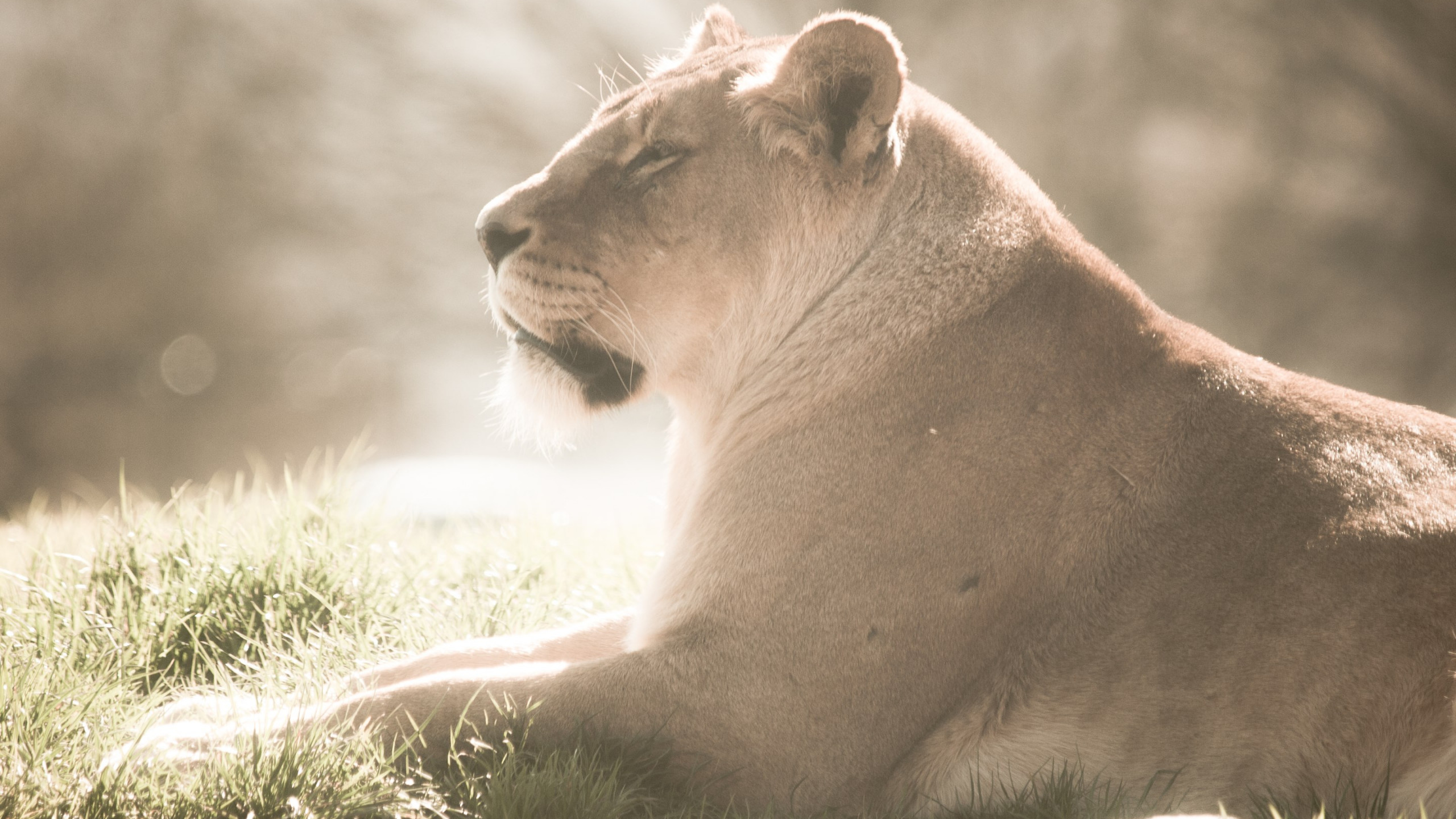 Lioness at Whipsnade Zoo wallpaper 2560x1440