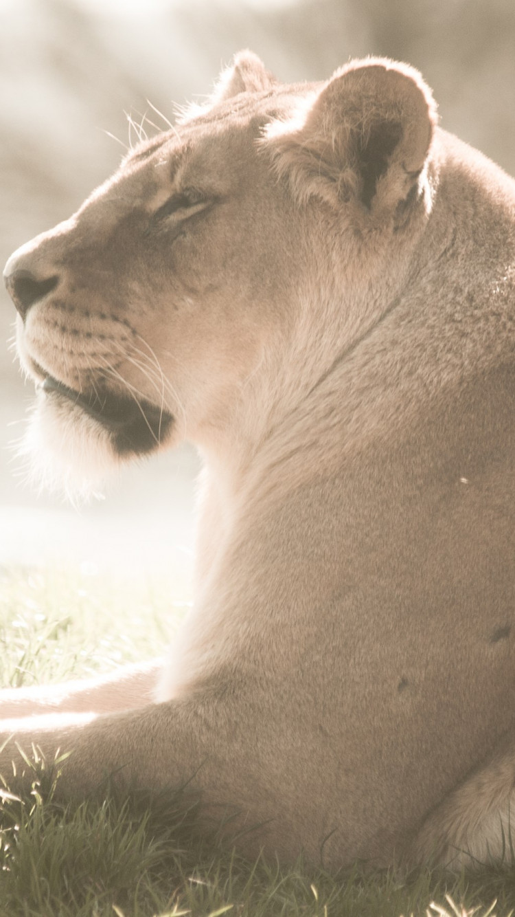Lioness at Whipsnade Zoo wallpaper 750x1334