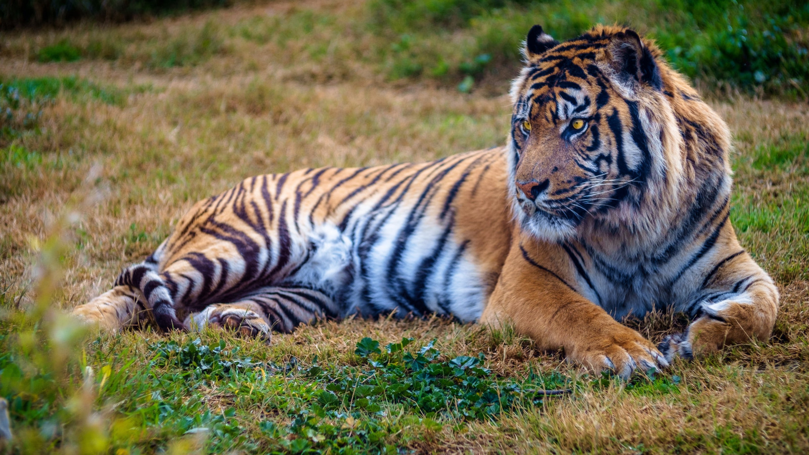Beautiful big tiger wallpaper 1600x900