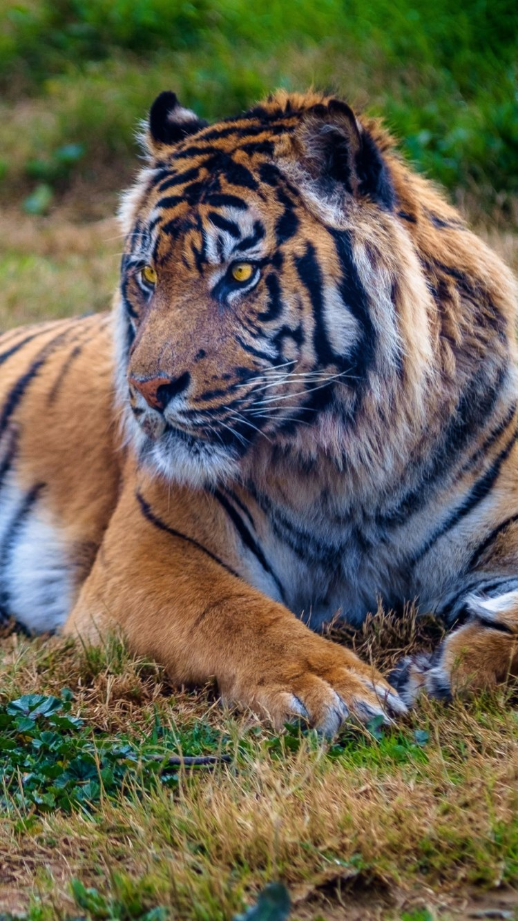 Beautiful big tiger wallpaper 750x1334