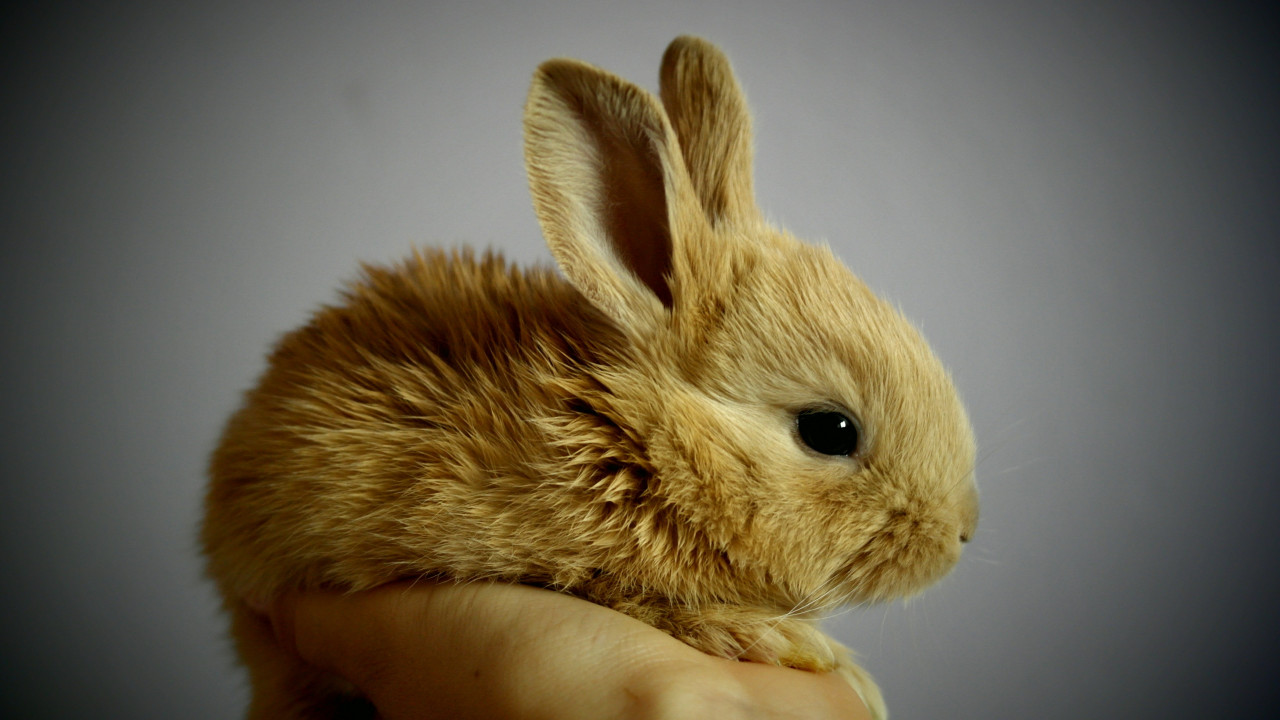 Small rabbit wallpaper 1280x720