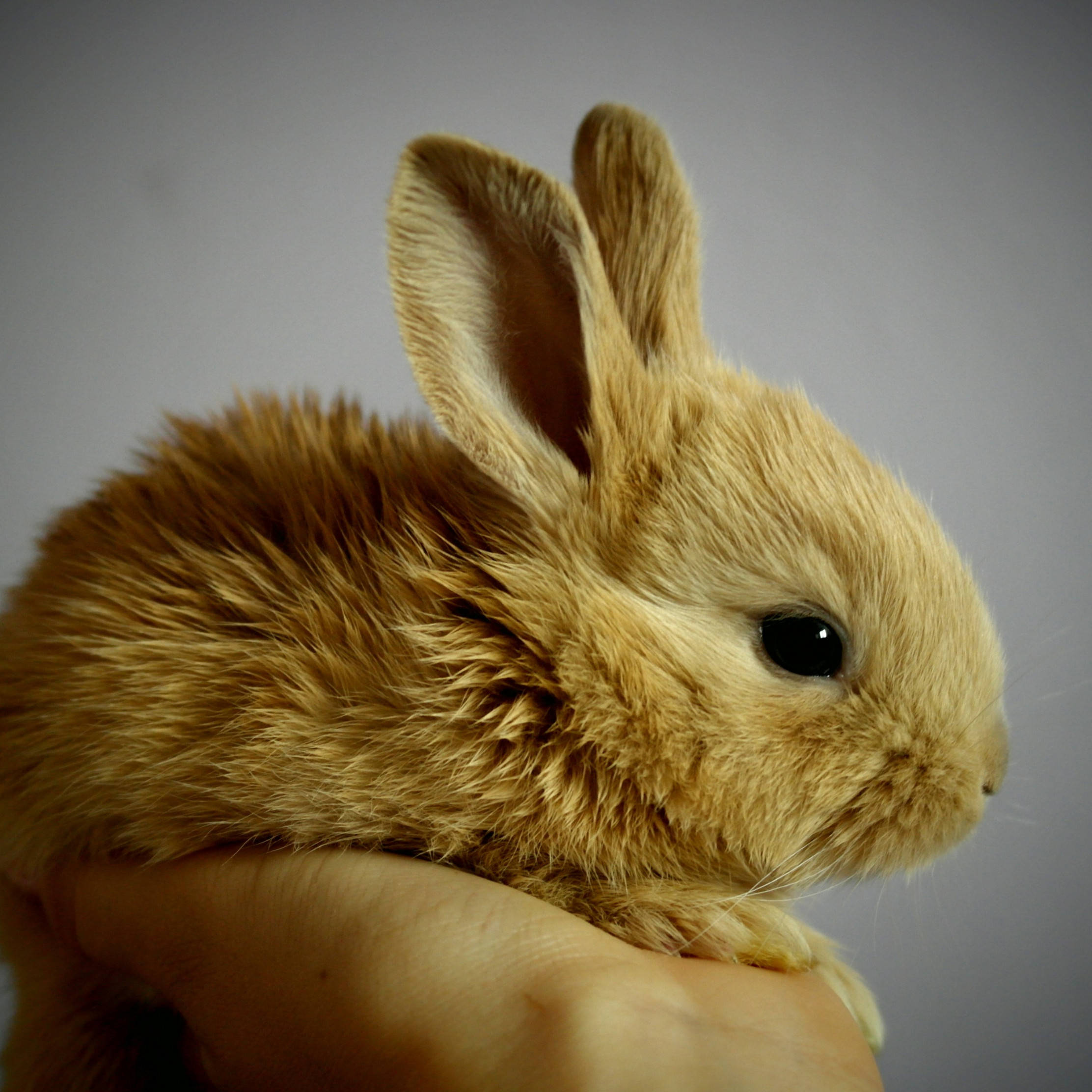 Small rabbit wallpaper 2224x2224