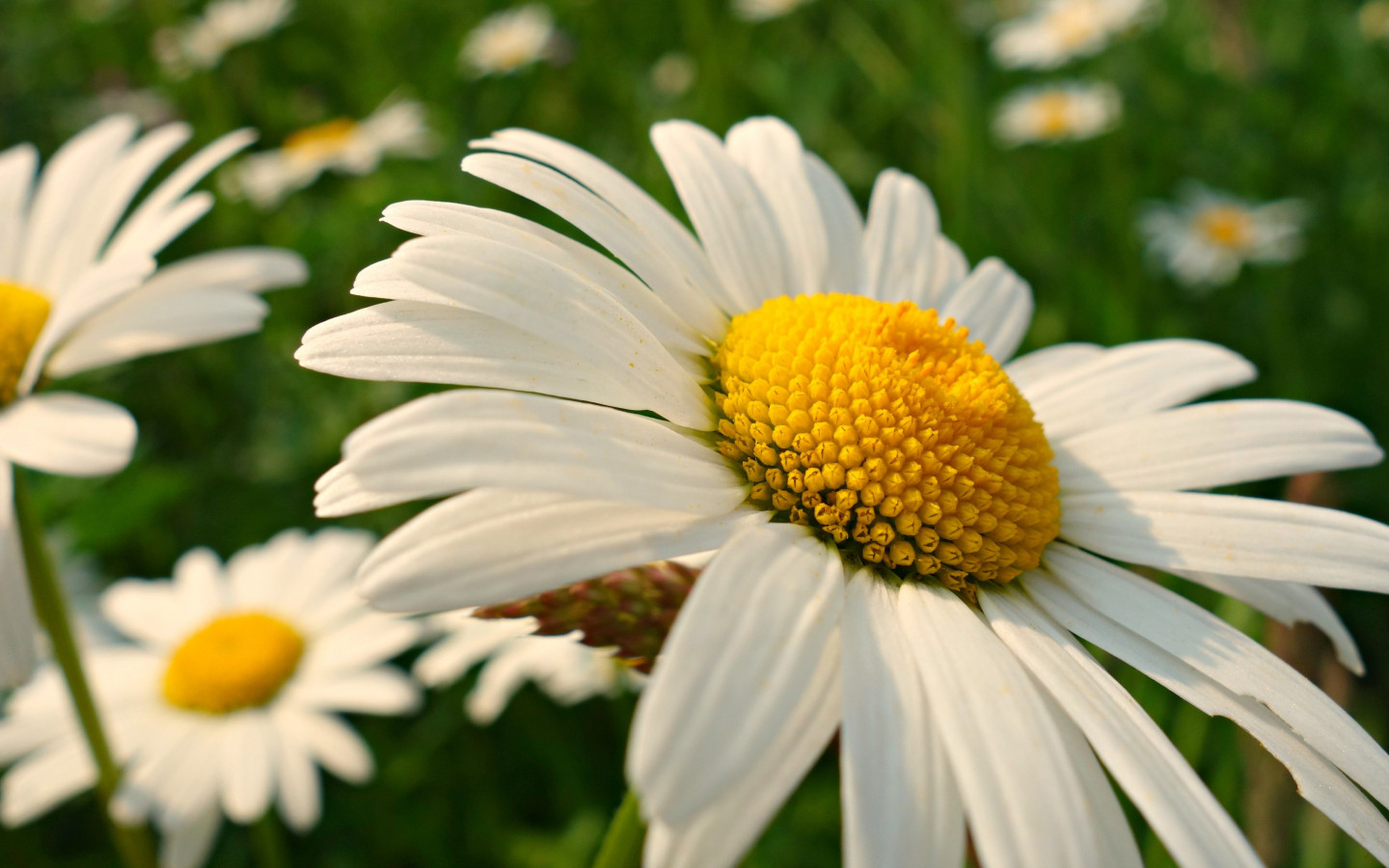 Natural daisy flowers wallpaper 1440x900