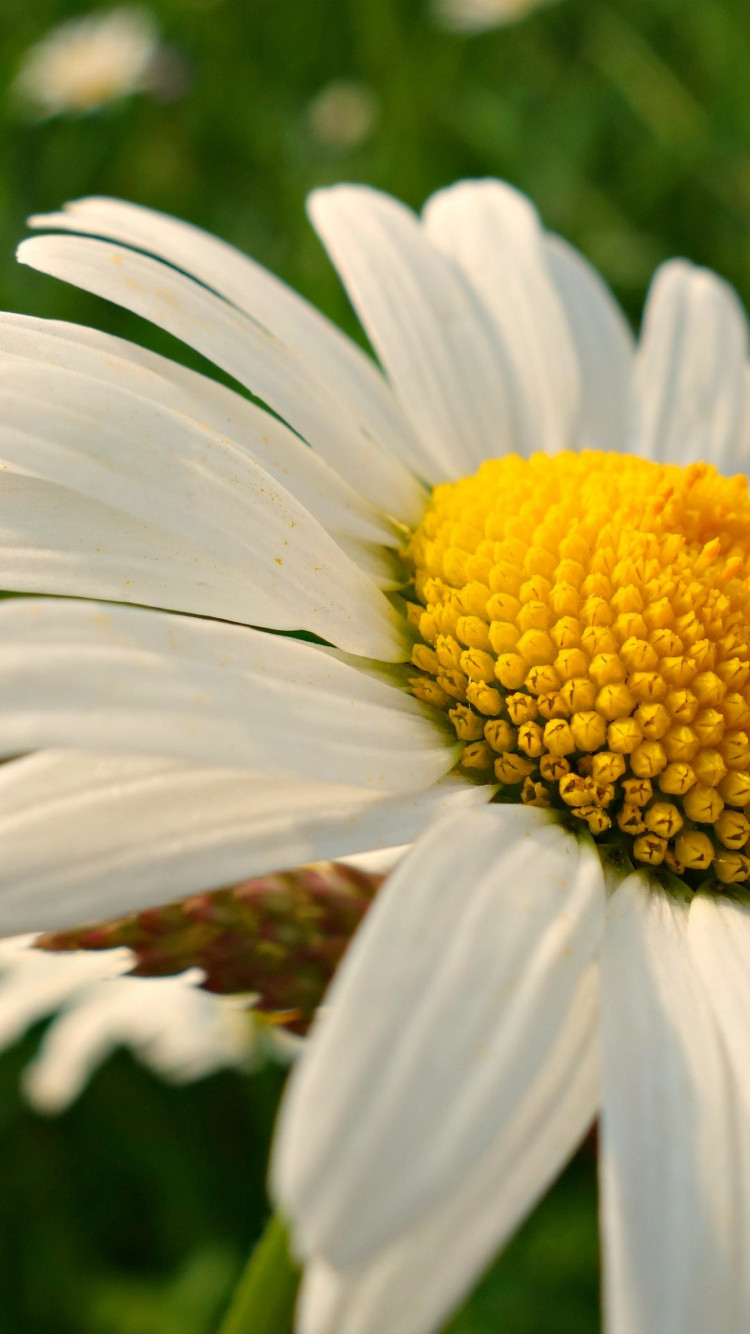 Natural daisy flowers | 750x1334 wallpaper