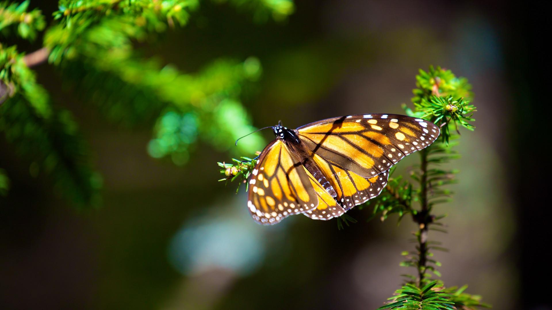 Download wallpaper: Monarch butterfly 1920x1080