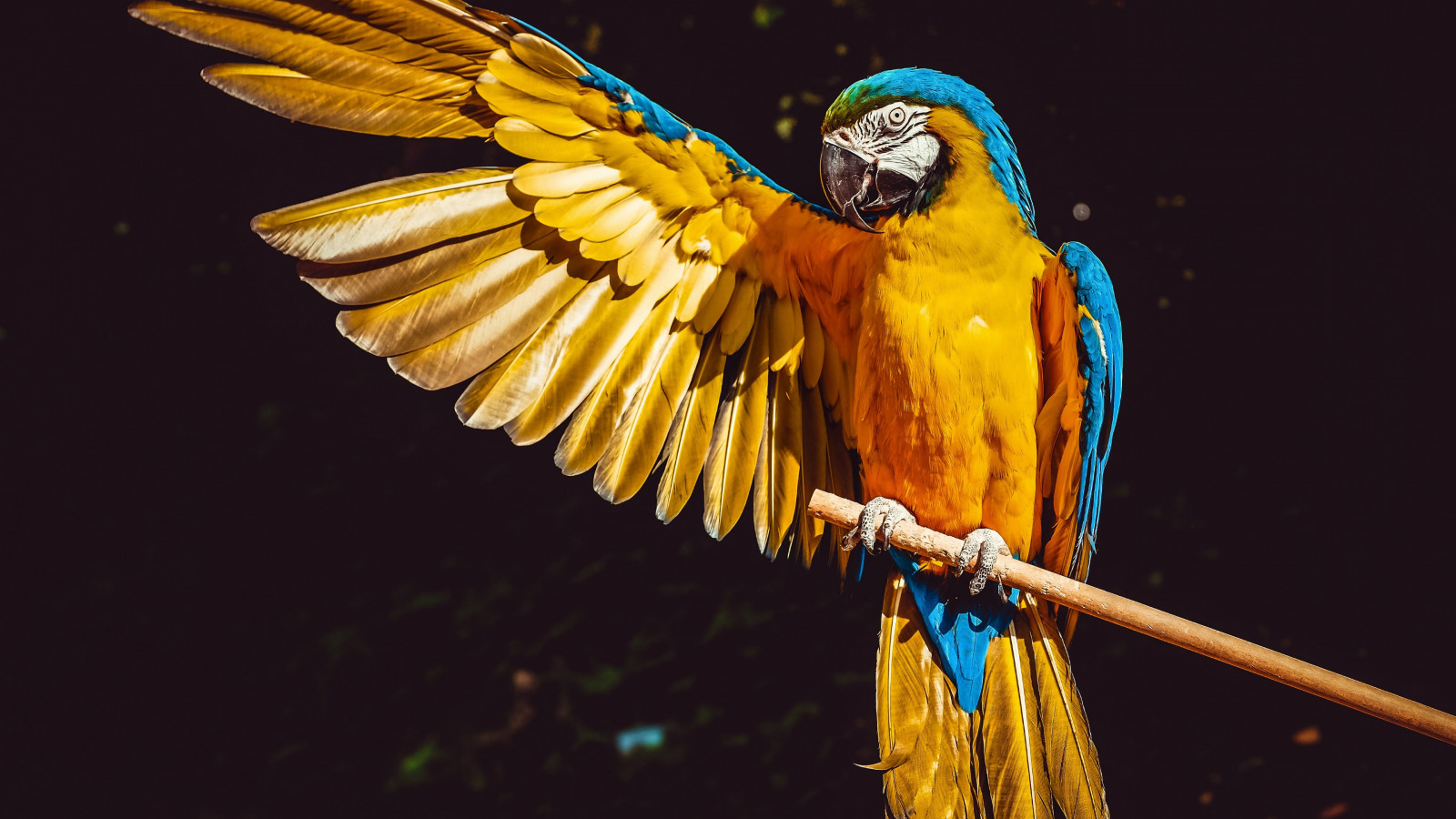 Blue and yellow macaw wallpaper 1600x900