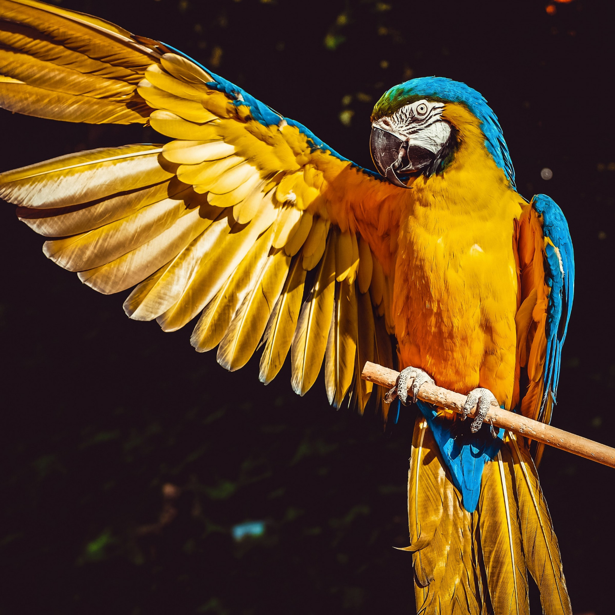 Blue and yellow macaw wallpaper 2048x2048