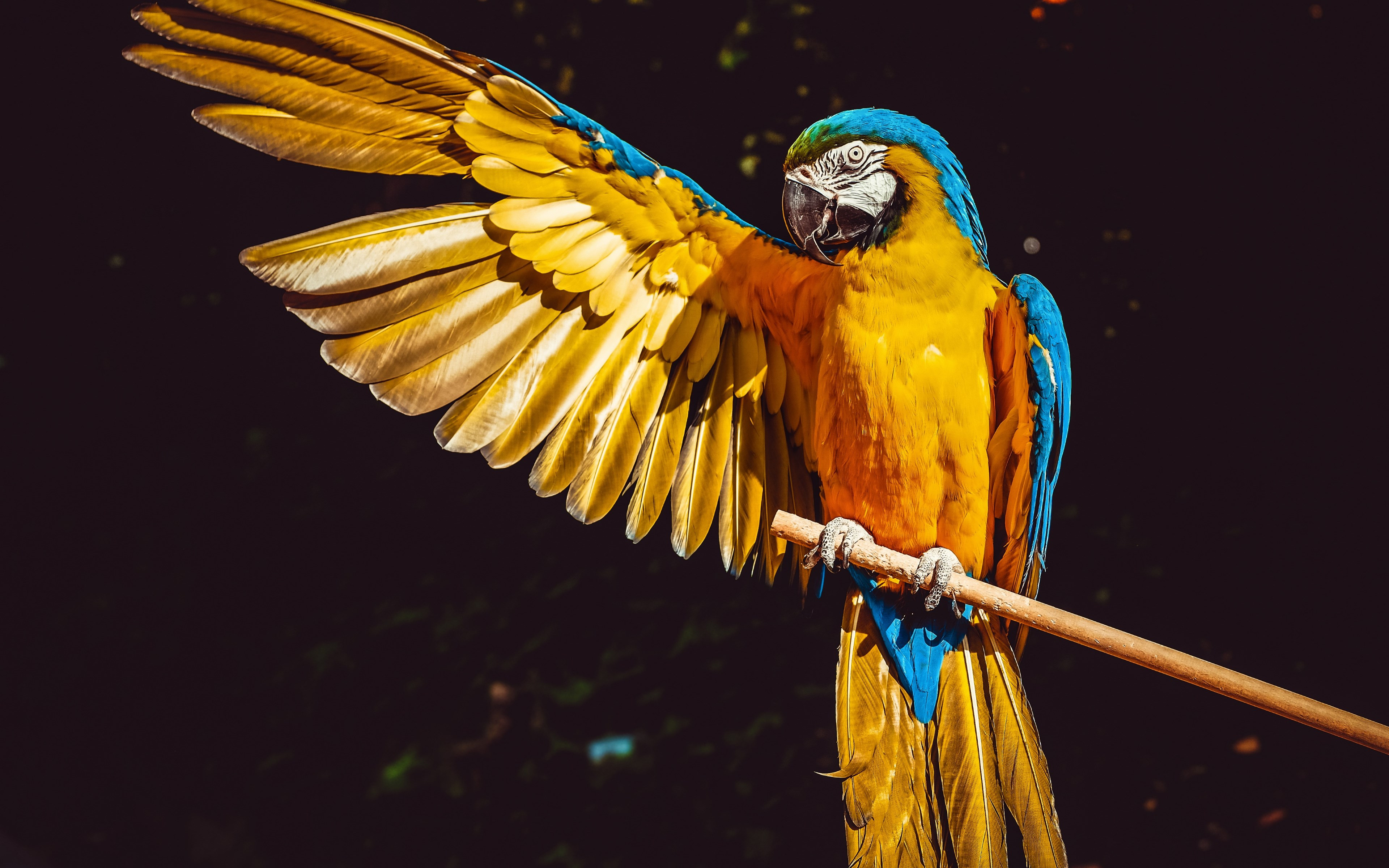 Blue and yellow macaw wallpaper 3840x2400