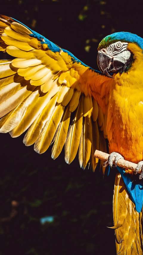Blue and yellow macaw wallpaper 480x854