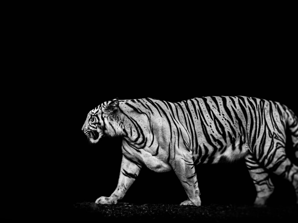 Tiger in the darkness wallpaper 1024x768