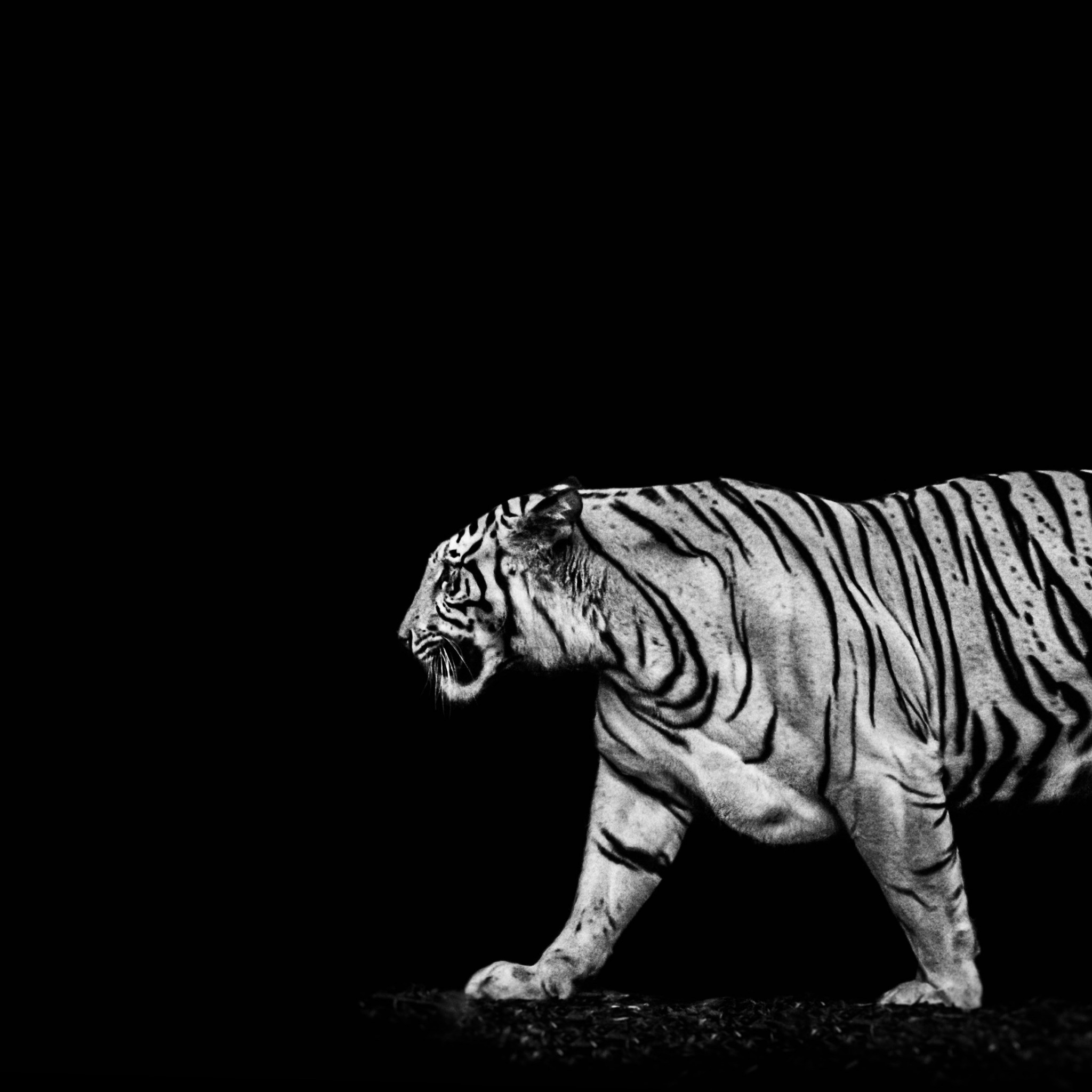 Tiger in the darkness | 2048x2048 wallpaper