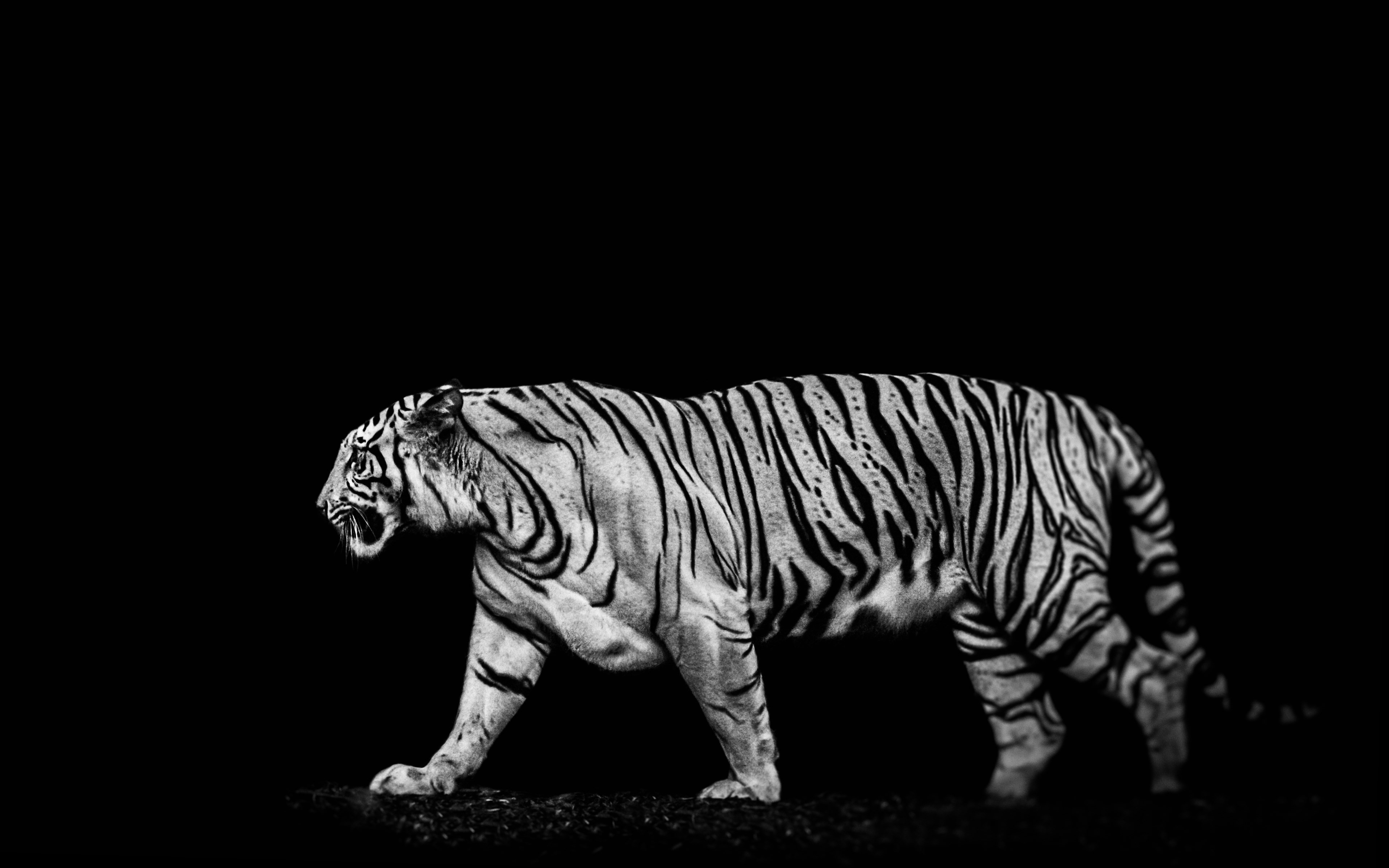 Tiger in the darkness wallpaper 3840x2400