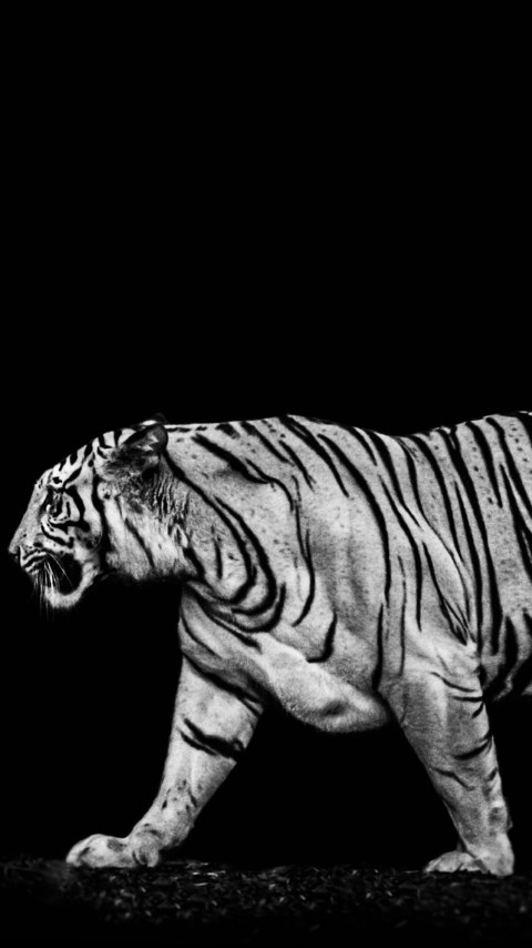 Tiger in the darkness | 480x854 wallpaper
