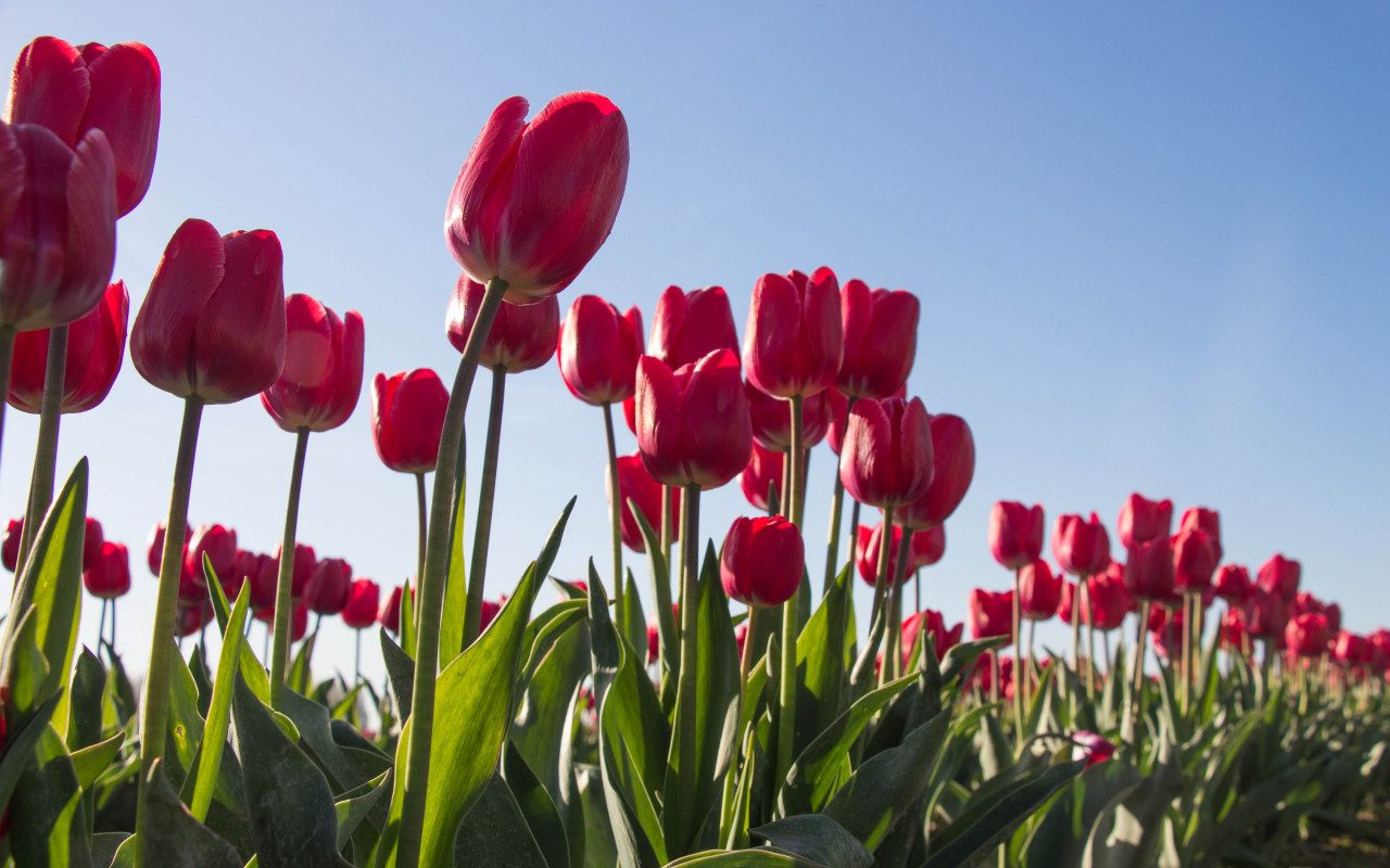 Red tulips wallpaper 1280x800