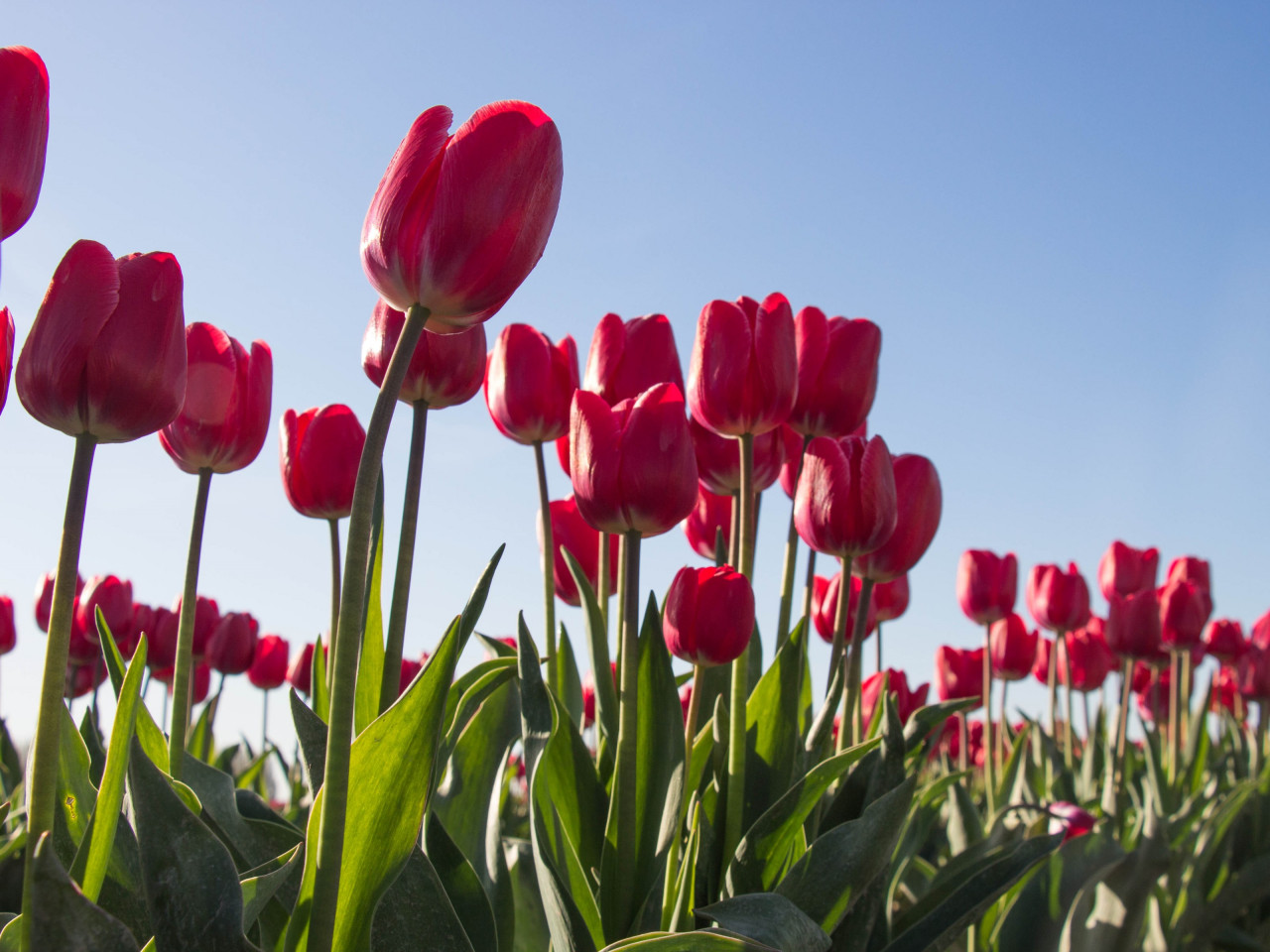 Red tulips wallpaper 1280x960