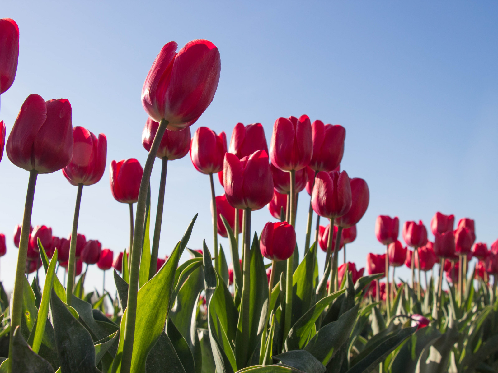 Red tulips wallpaper 1600x1200