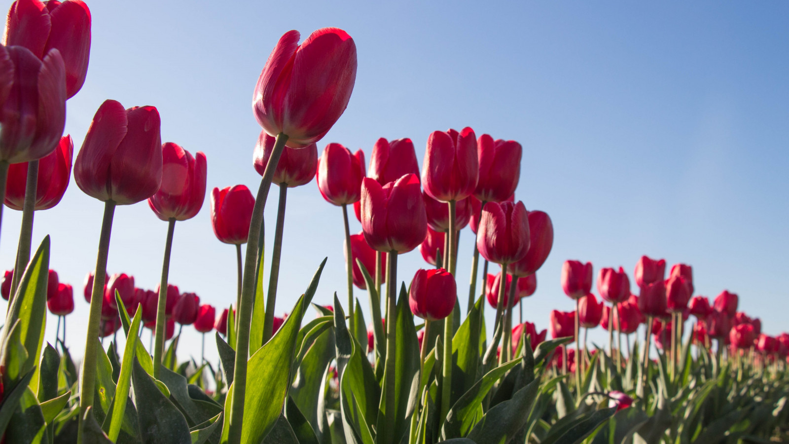 Red tulips wallpaper 1600x900