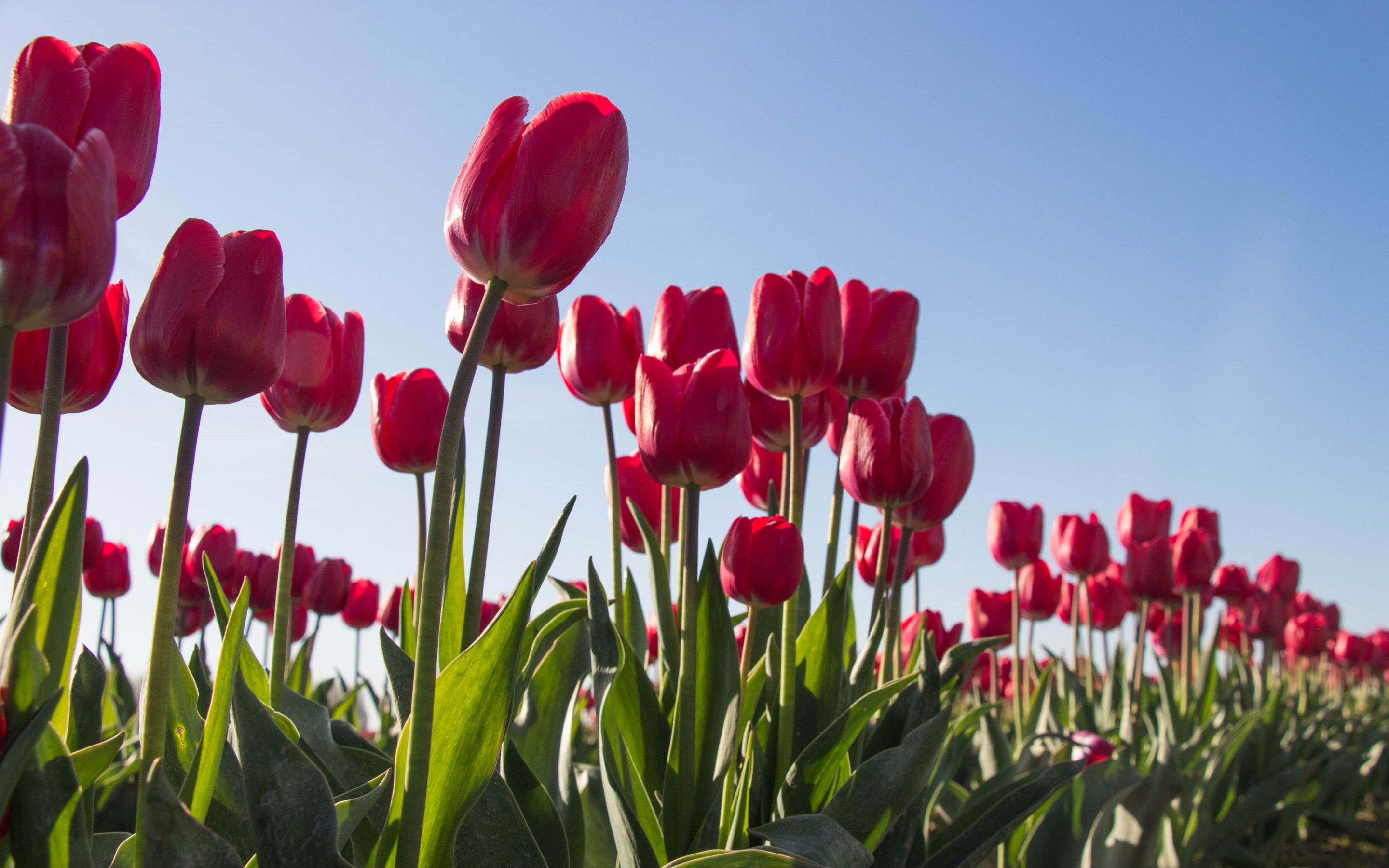 Red tulips wallpaper 2880x1800