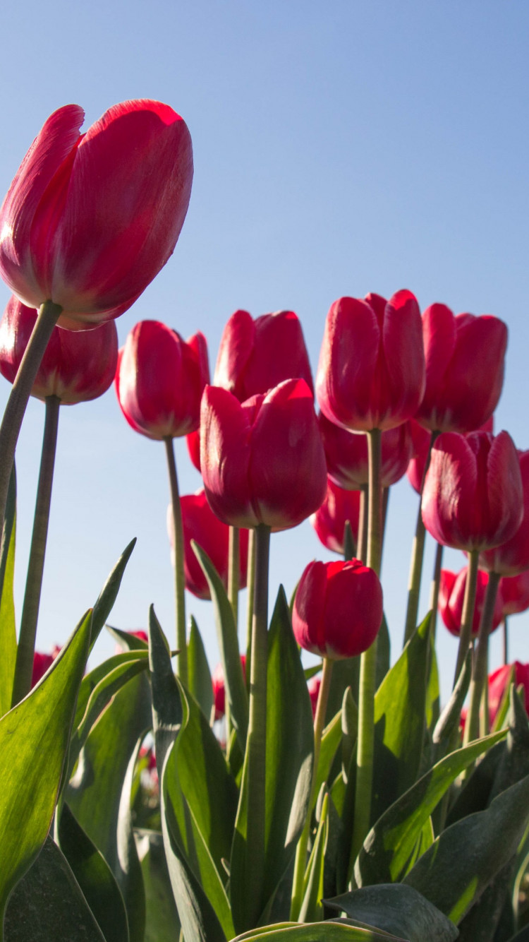 Red tulips wallpaper 750x1334