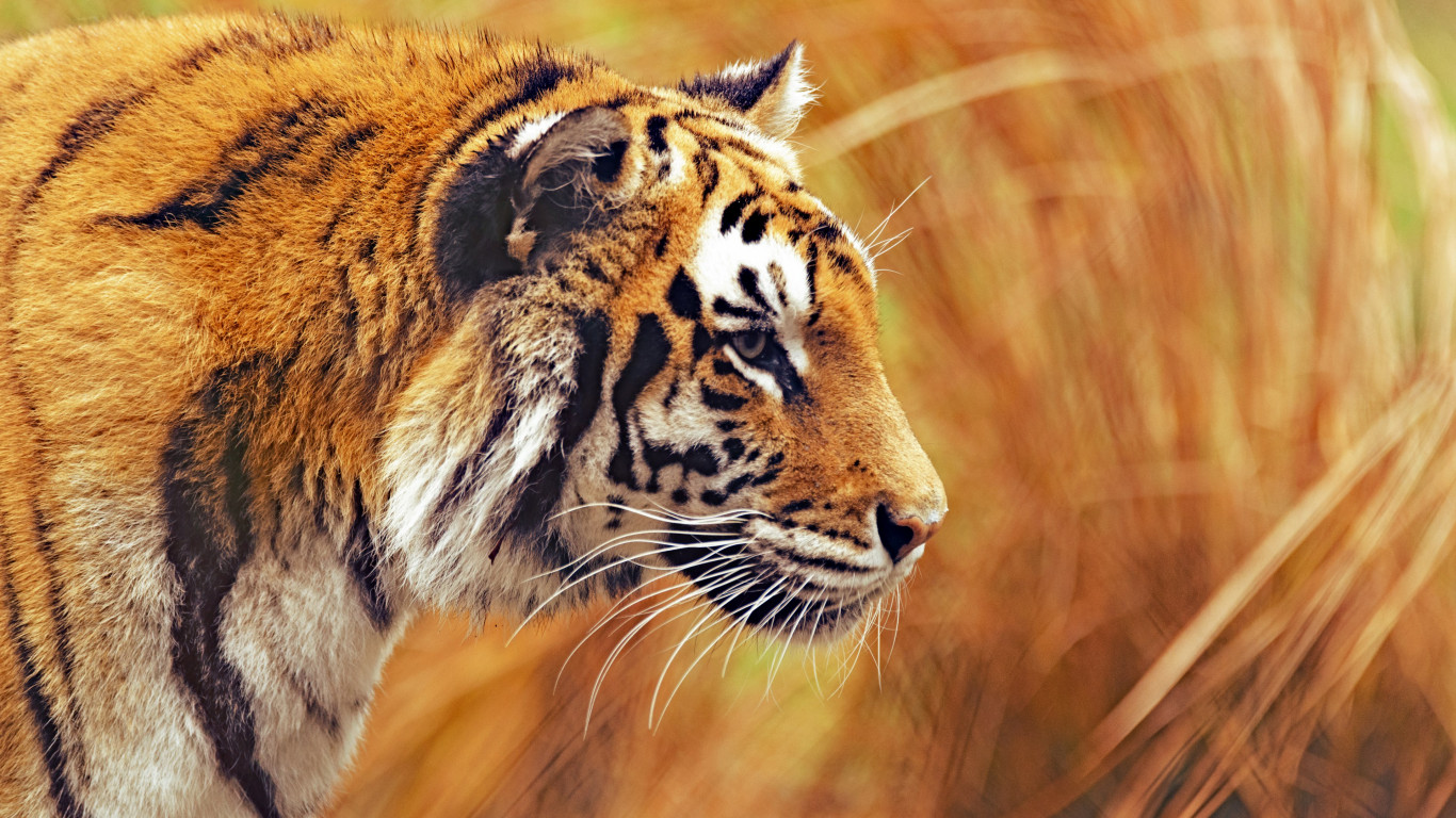 Bengal tiger wallpaper 1366x768