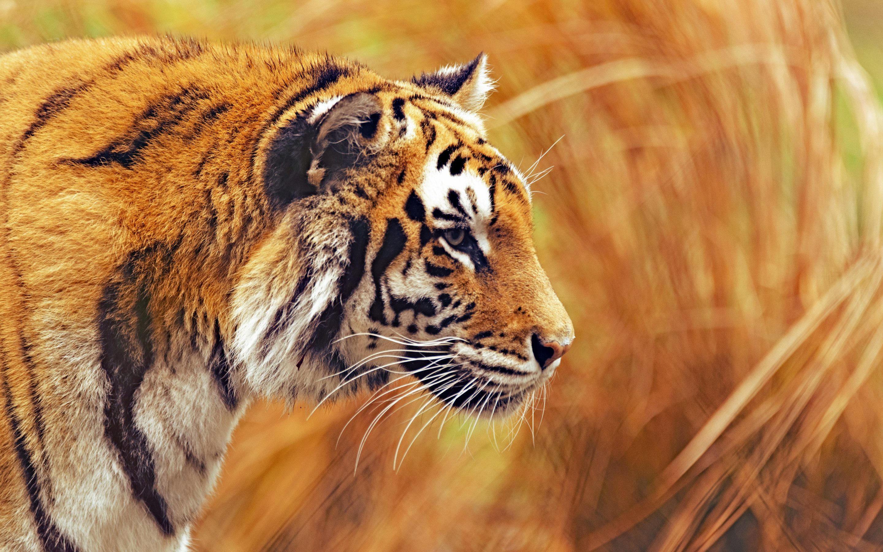 Bengal tiger | 2880x1800 wallpaper