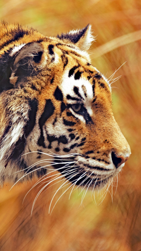 Bengal tiger | 480x854 wallpaper