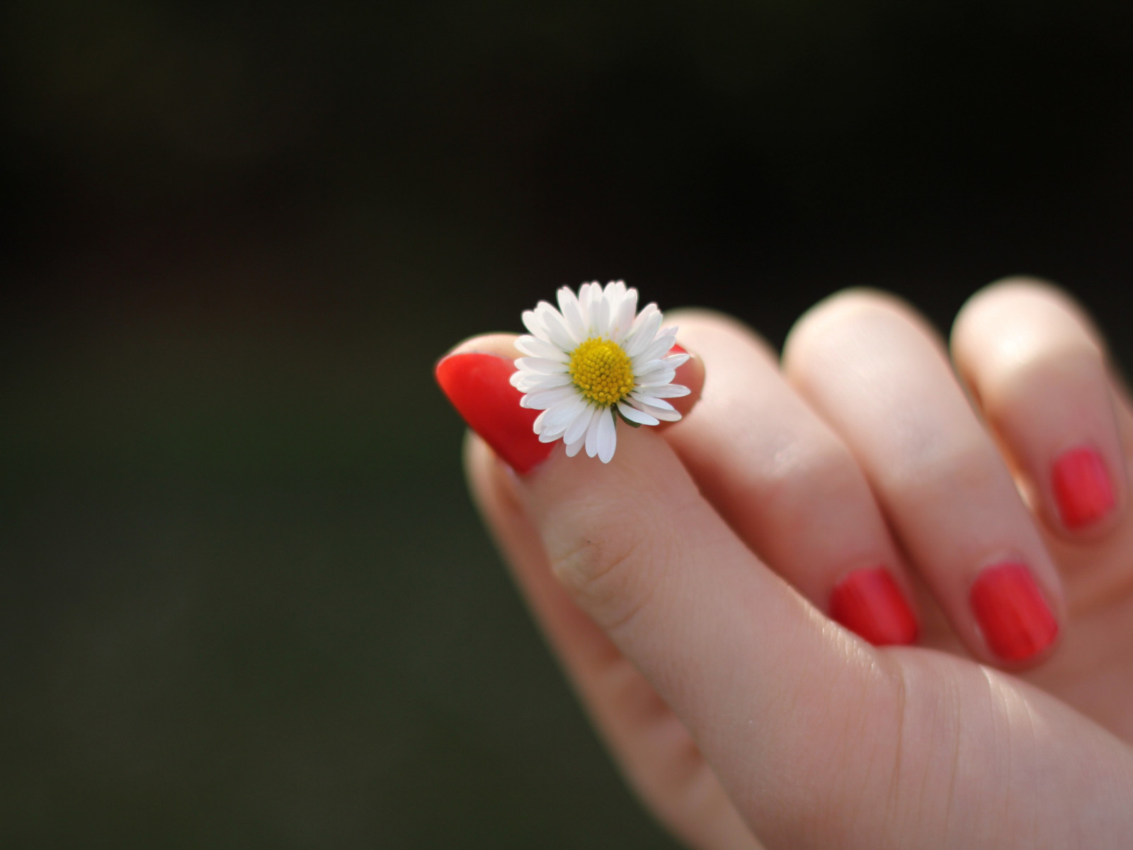Girl with red nails and a daisy flower wallpaper 1600x1200